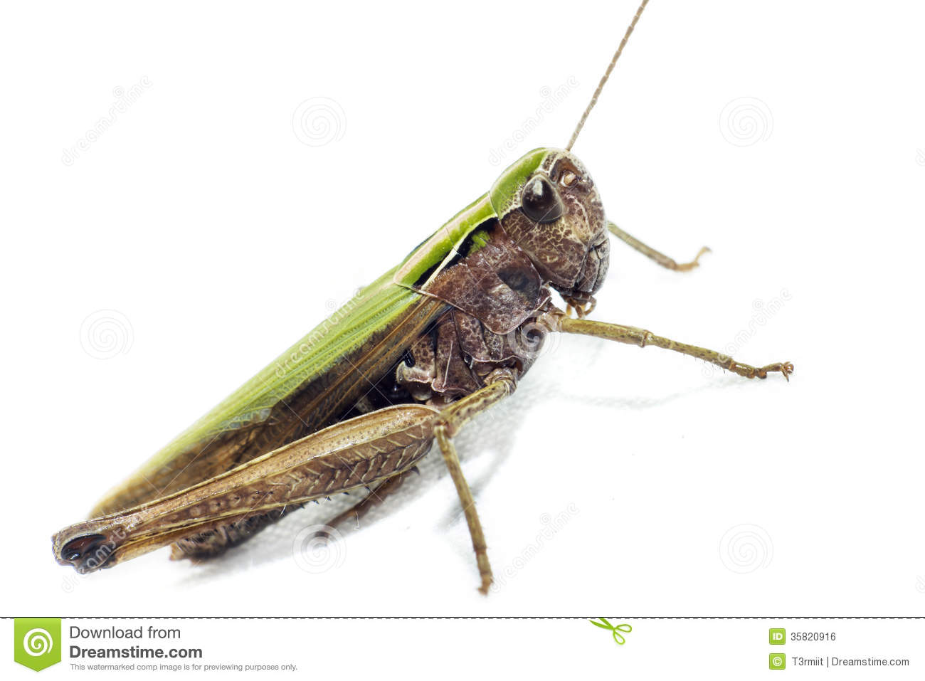 a study on orthoptera The latest tweets from orthoptera research (@orthopterar) #oa journal for orthoptera & its close allies: blattodea, mantodea, phasmatodea, grylloblattodea , mantophasmatodea & dermaptera published by @pensoft.