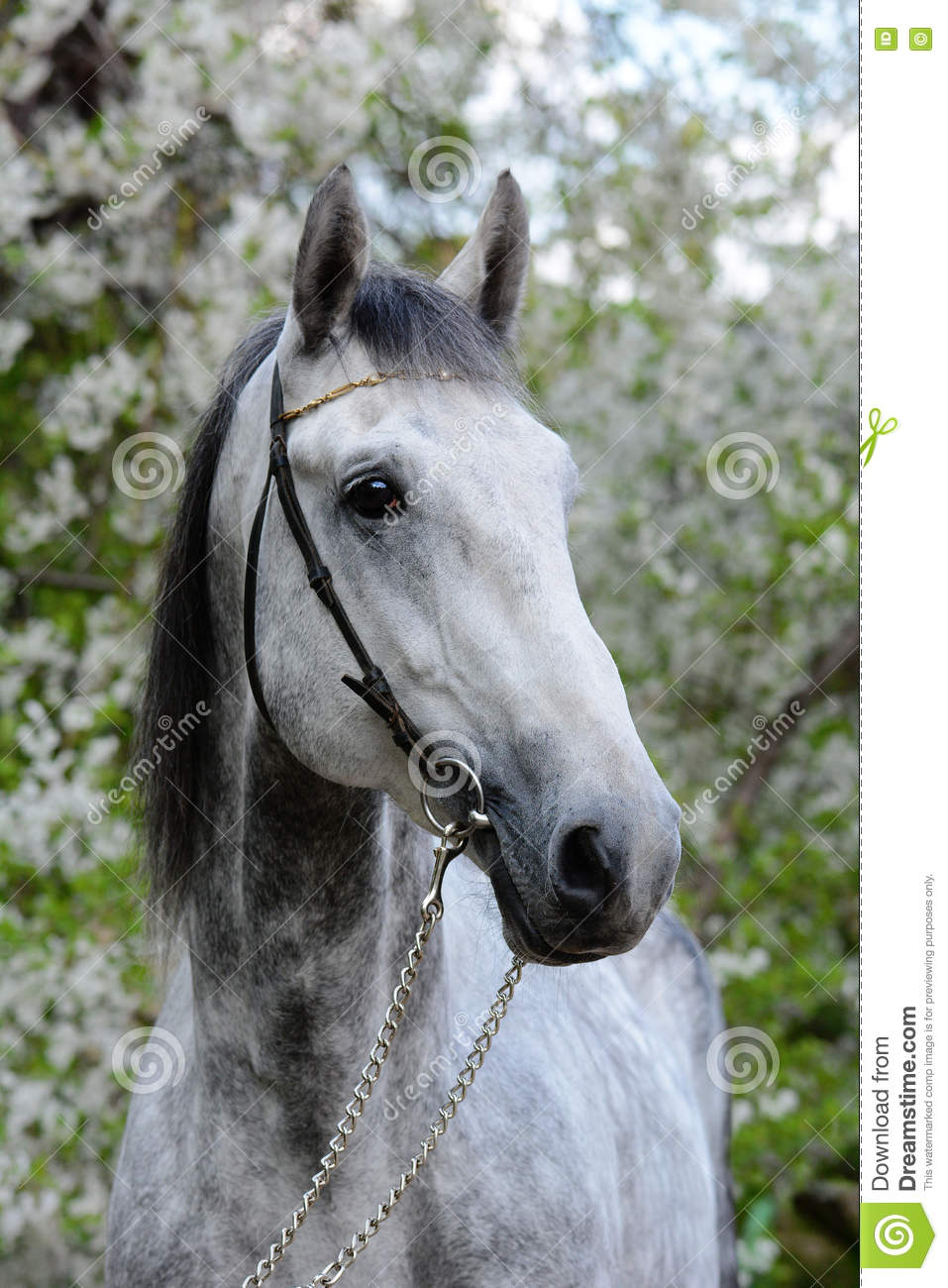 Portrait of a gray orlov trotter breed horse