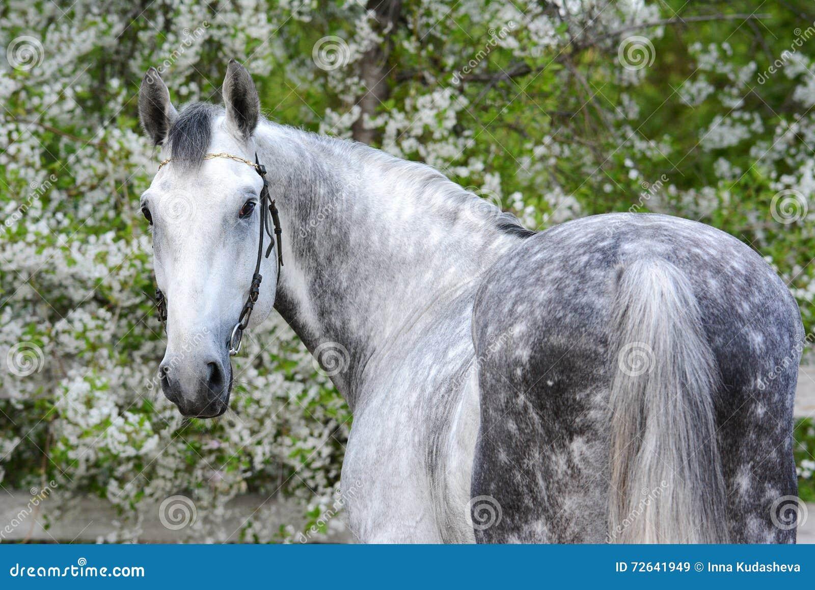 Portrait of a gray orlov trotter breed stallion