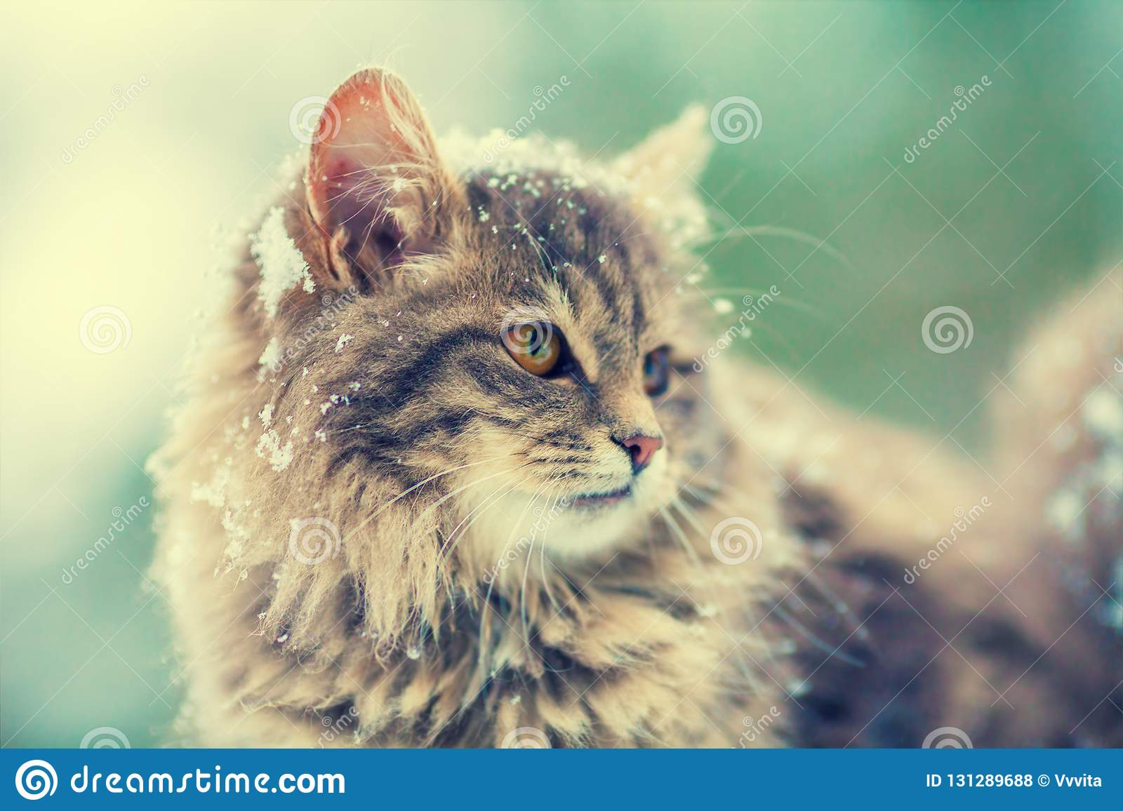 Portrait of gray siberian cat