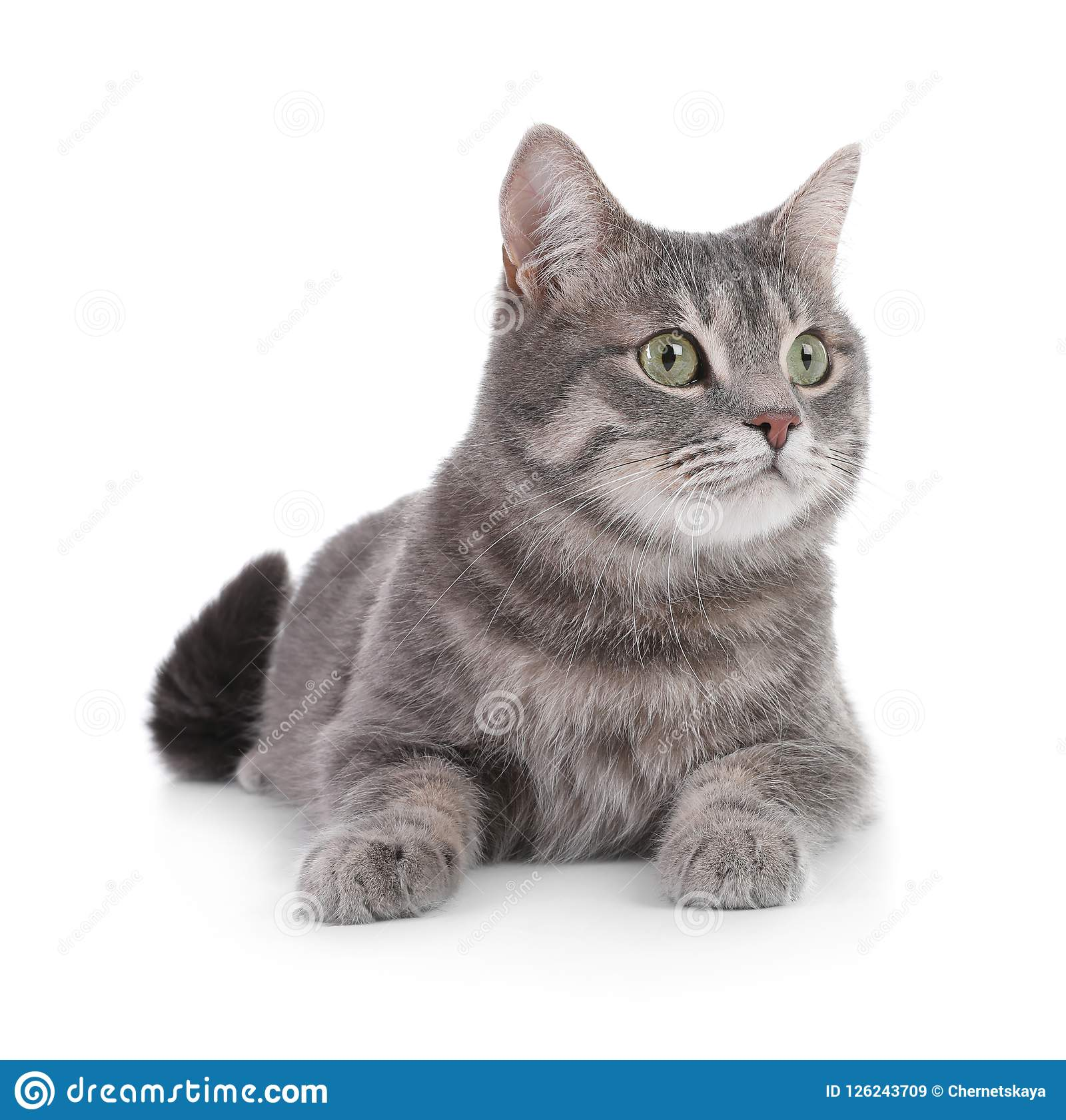 Portrait of gray tabby cat on white background