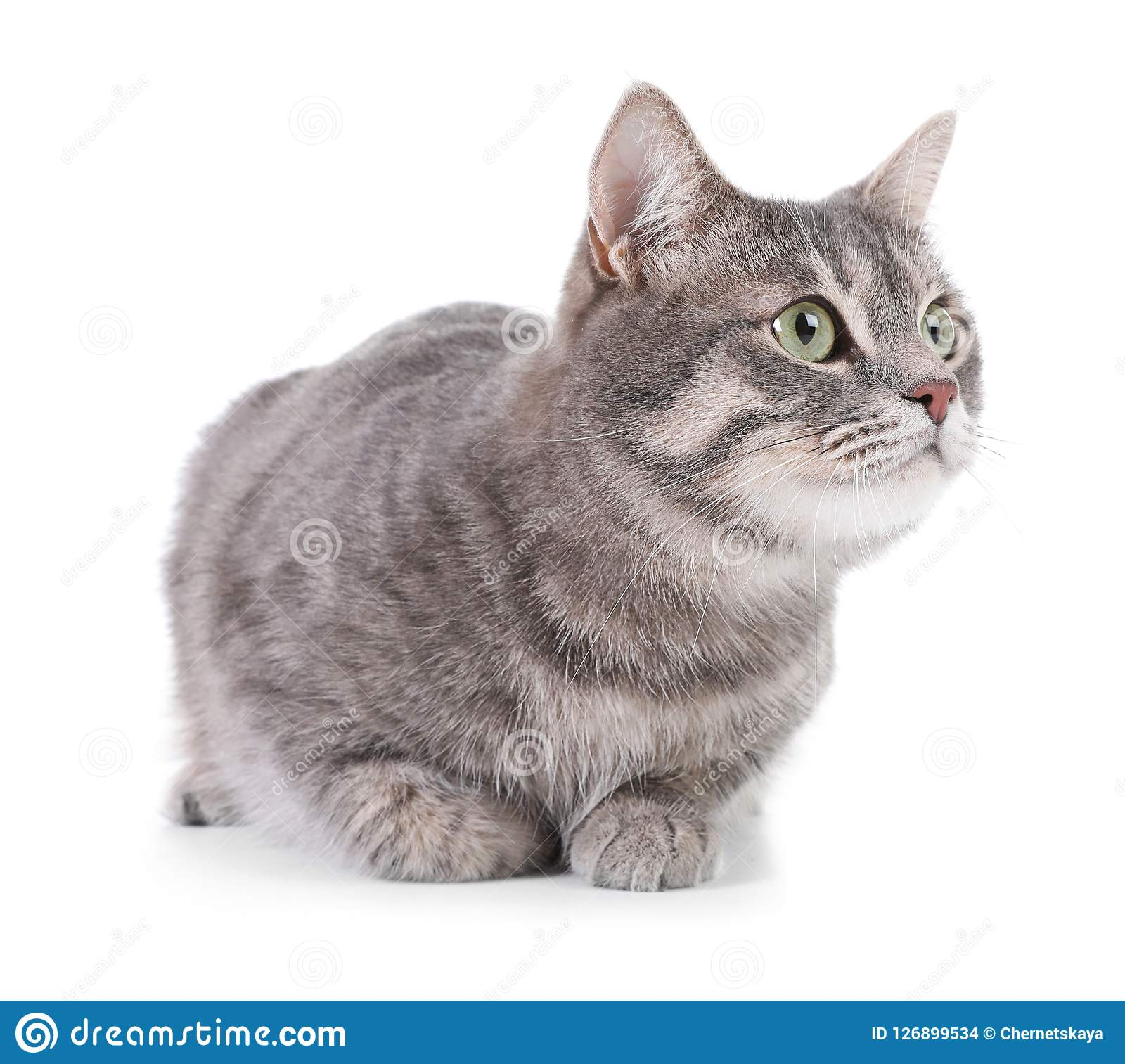 Portrait Of Gray Tabby Cat On White Background Stock Photo Image Of Breed Domestic 126899534