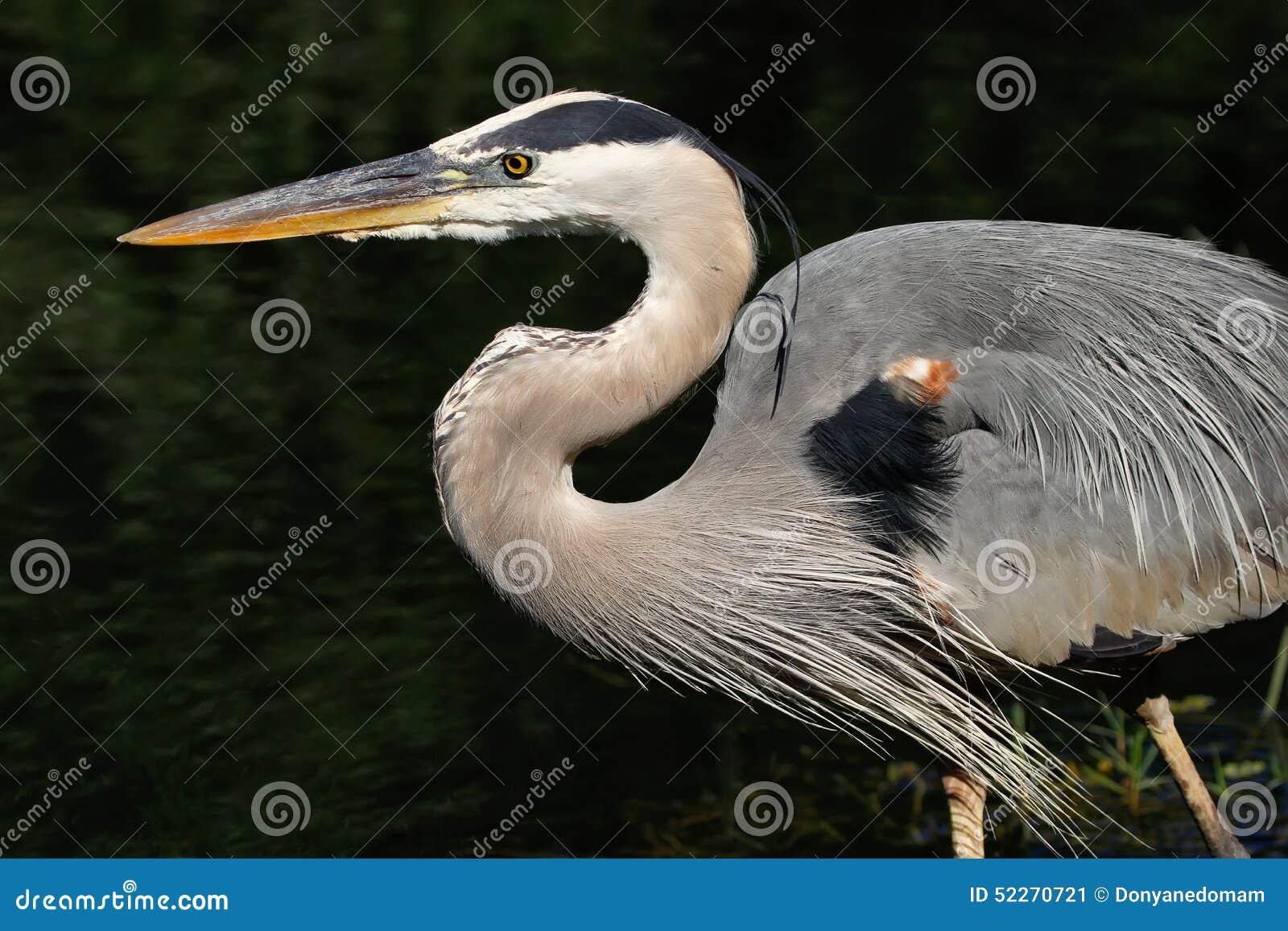 Portrait of Great blue heron