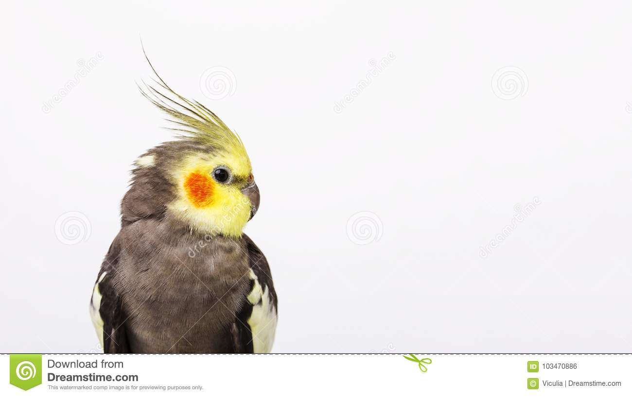 a grey cockatiel Nymphicus hollandicus in front of white background