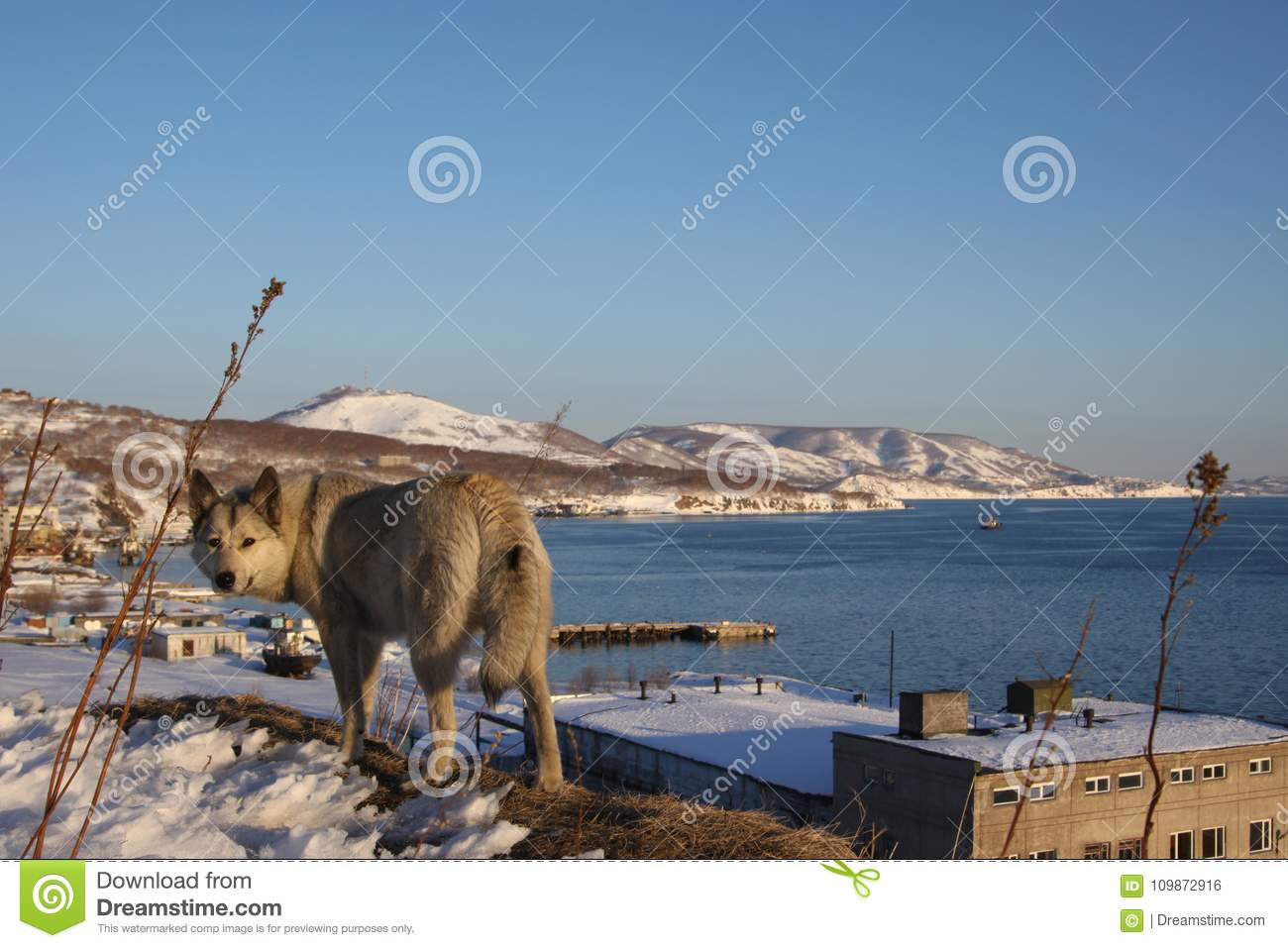 Portrait of grey dog wolf - dog and winter view of Avacha bay behind.