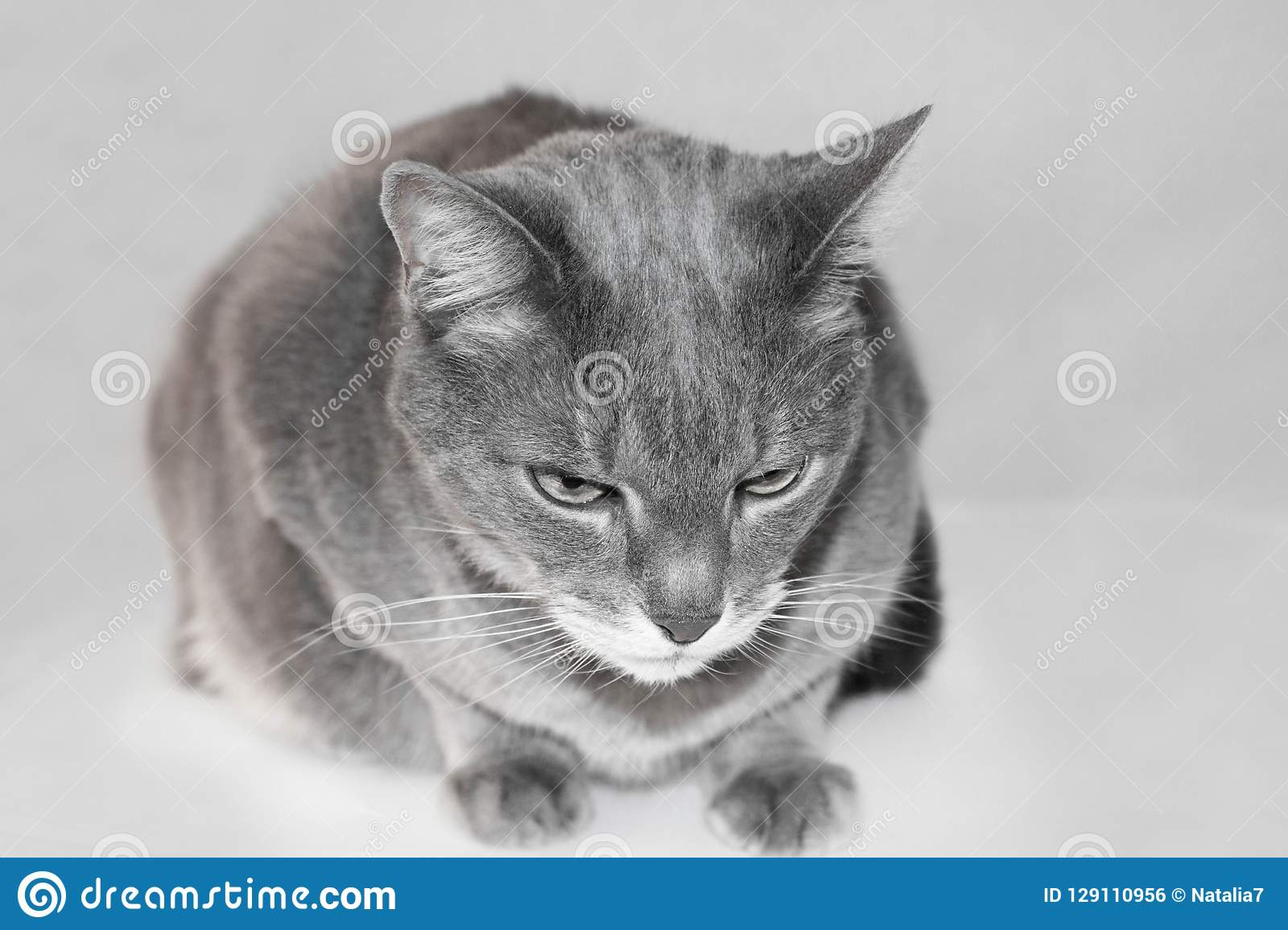 Portrait Of A Grey European Short Hair Cat Stock Photo Image Of Charming Expression 129110956