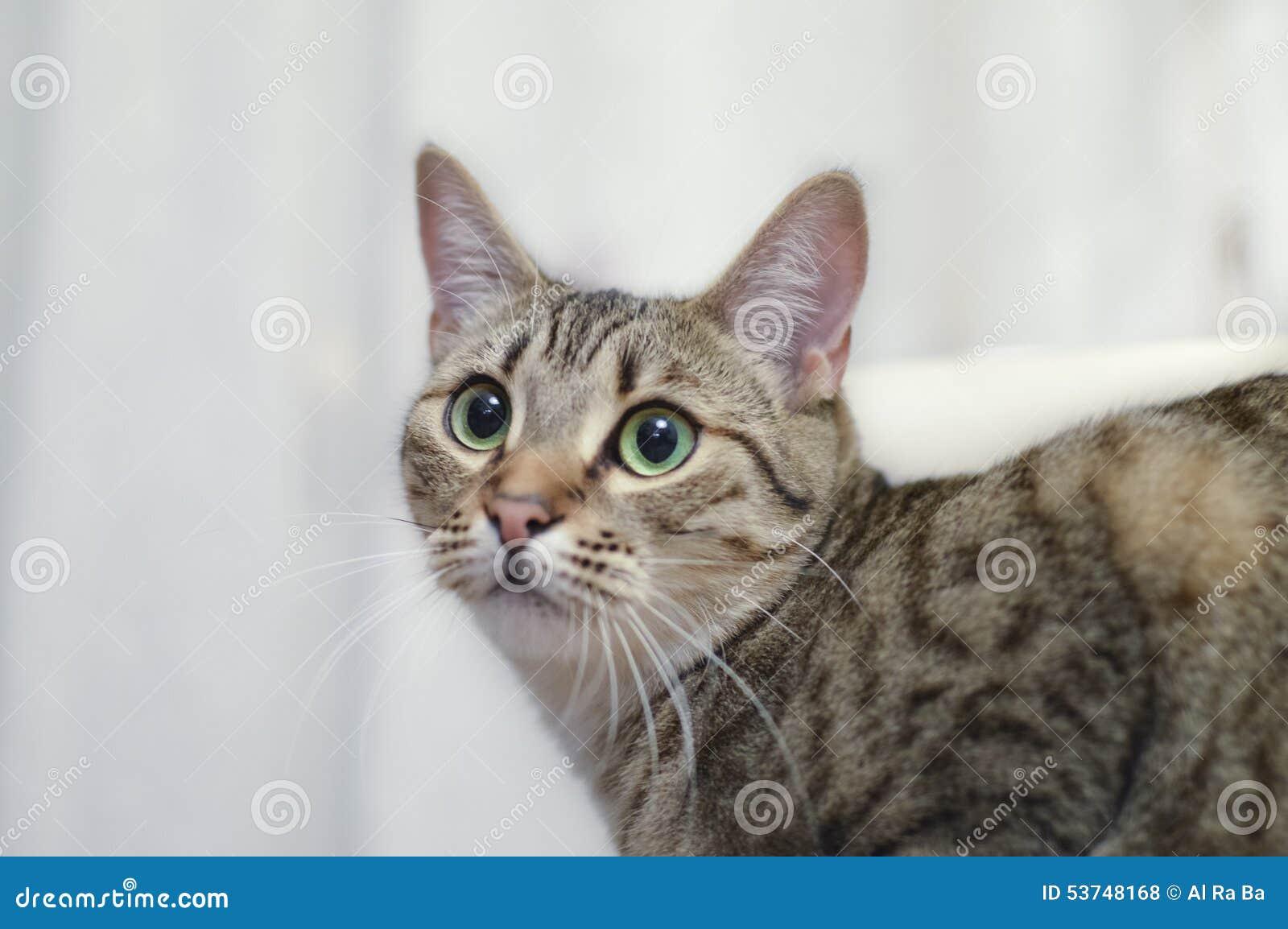 Portrait A Grey European Short Hair Cat Green Eyes Stock