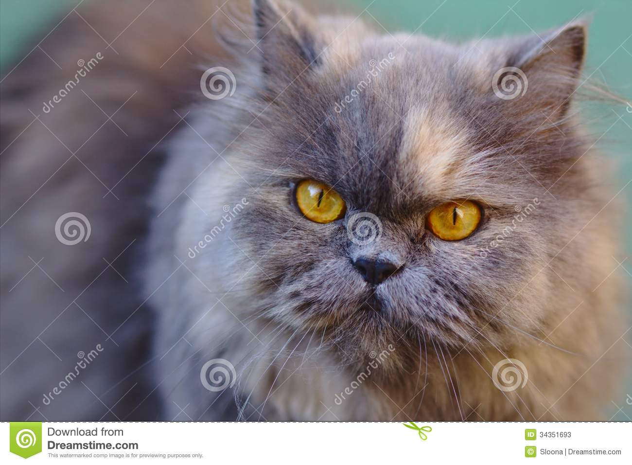 Portrait Grey Persian Cat Stock Image Image