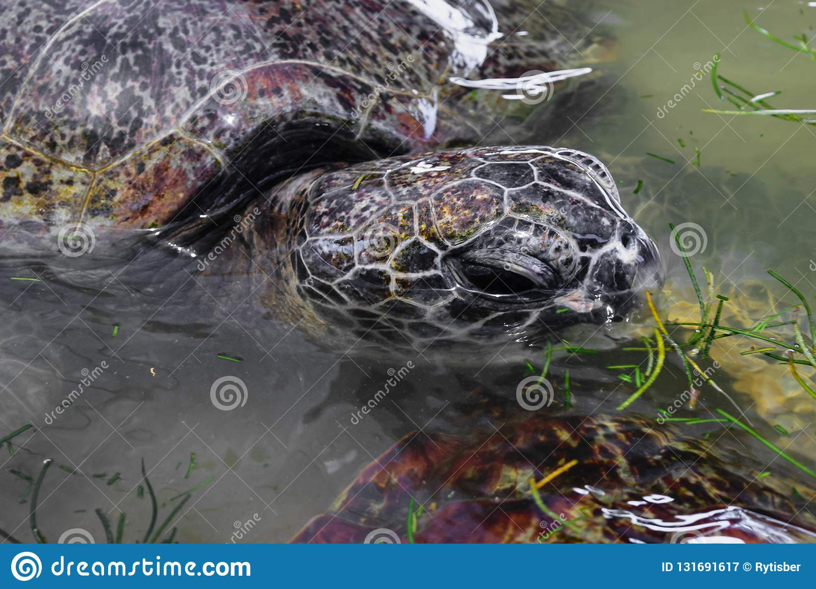 Portrait Of Grey Sea Turtle Head Swimming In The Water