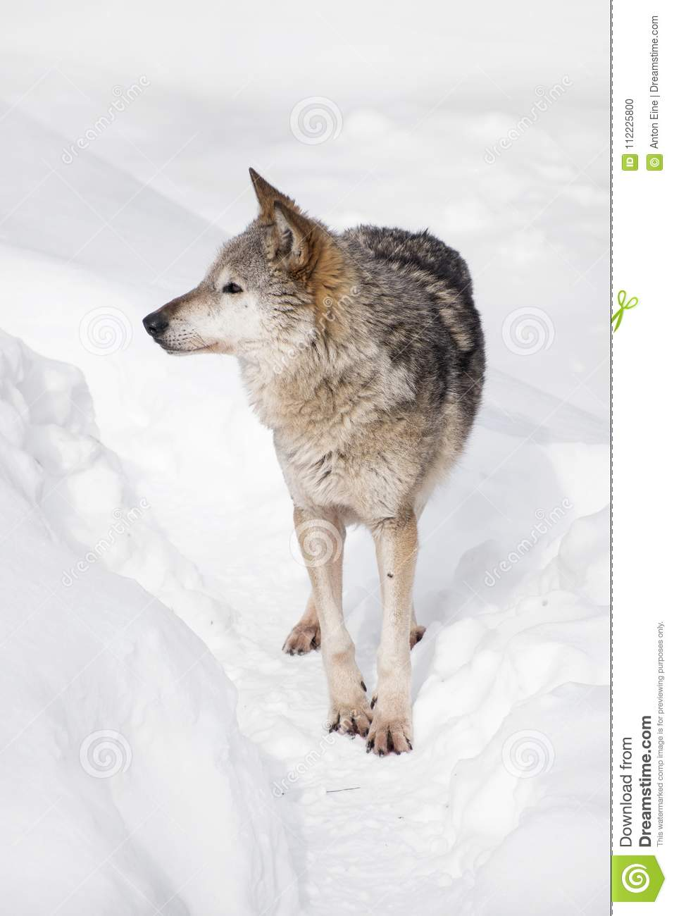 Portrait of grey wolf standing in deep winter snow
