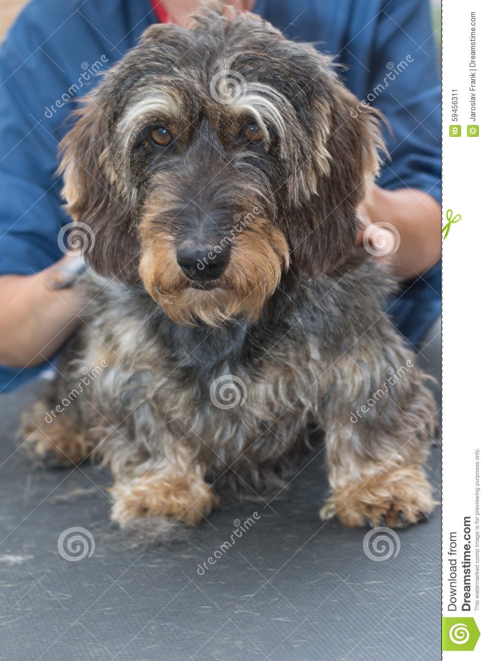 Wire haired dachshund haircuts merry dog life photo blog wire haired dachshund haircuts winobraniefo Gallery