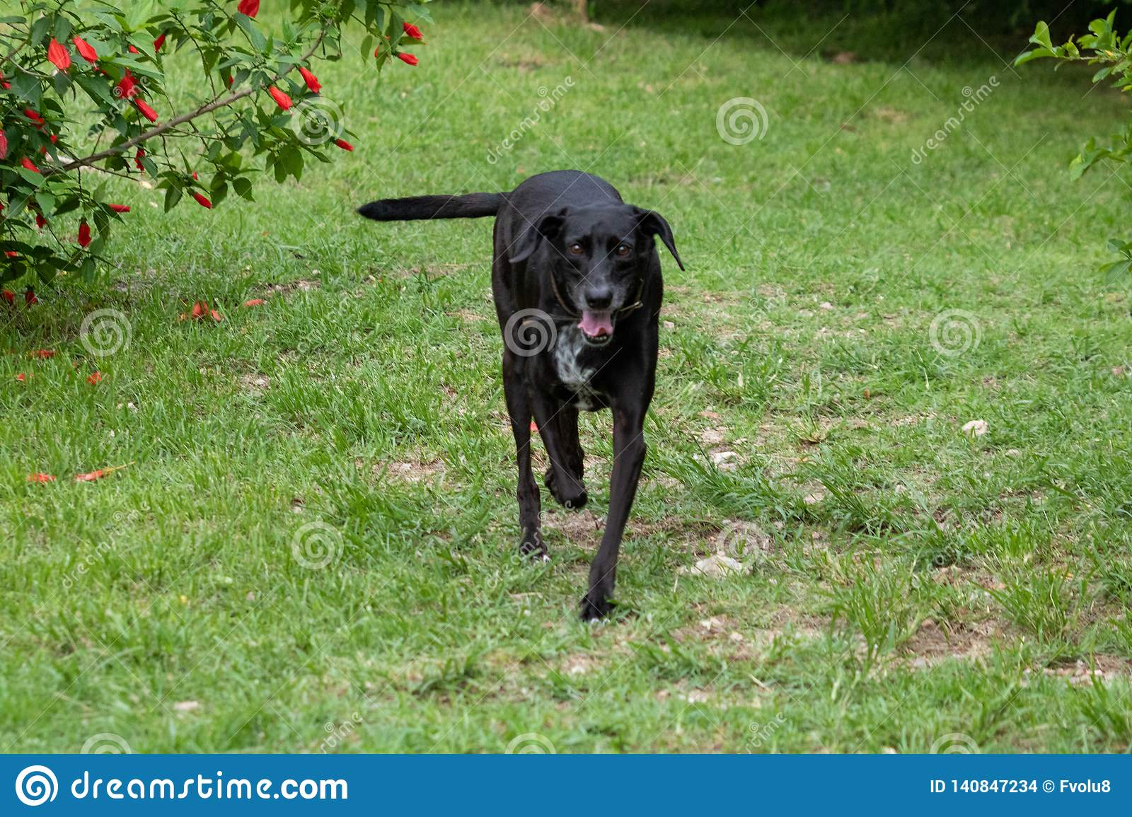 Portrait of a happy black mixed breed old dog with floppy ear on the farm
