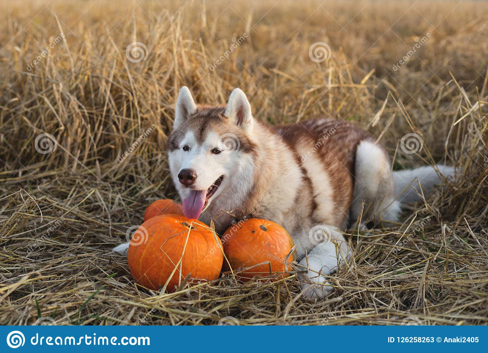 Portrait of happy dog breed siberian husky on the rye field background lying next to a pumpkin for Halloween