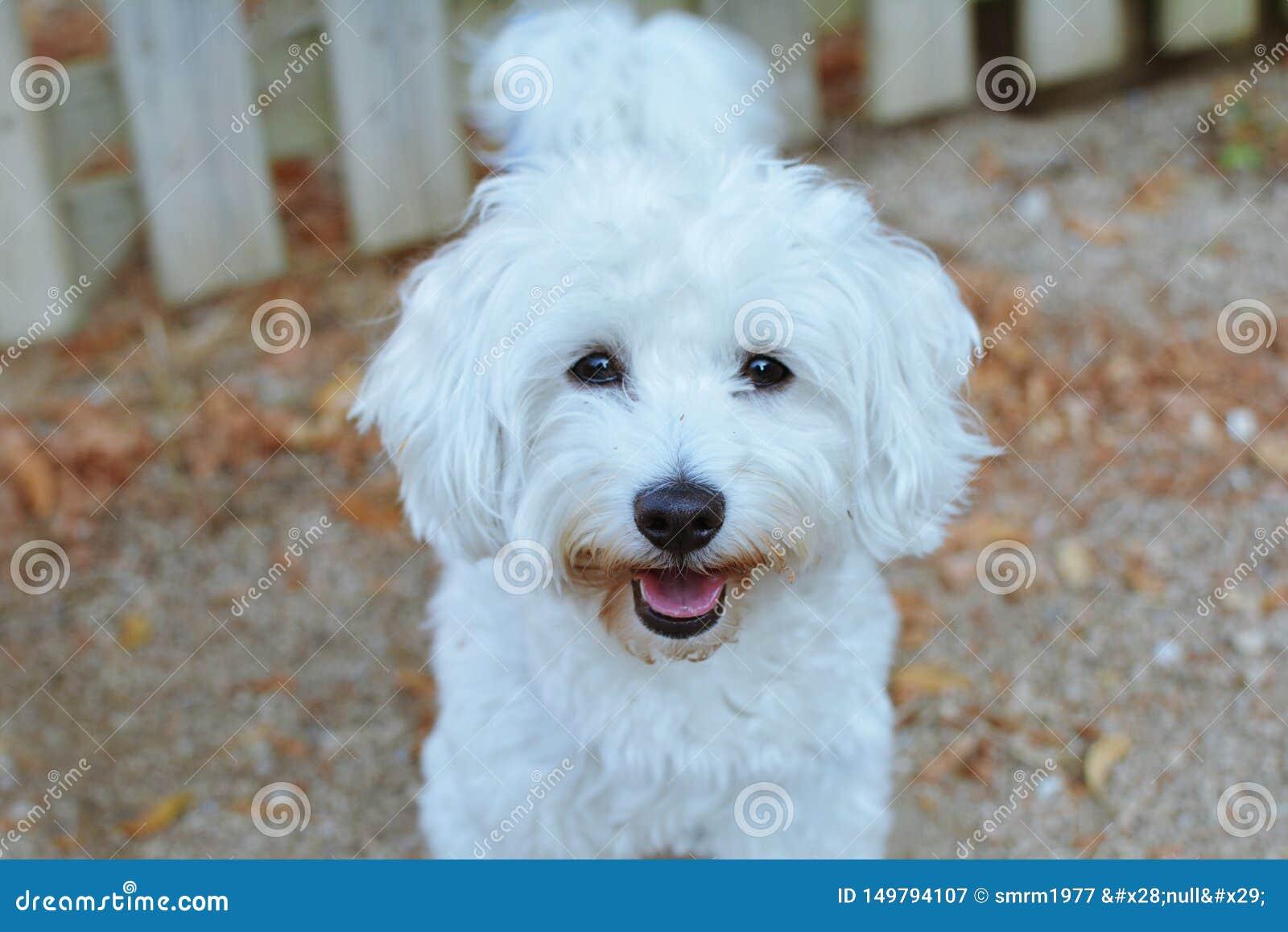 PORTRAIT HAPPY MALTESE DOG AGAINST NEIGHBOURS WOODEN FENCE