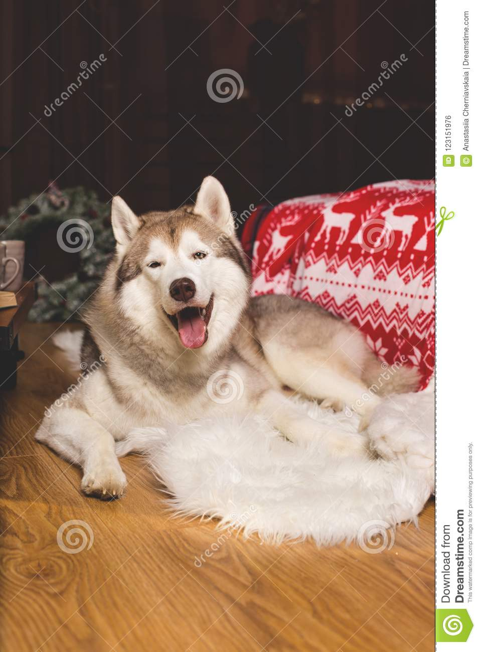 portrait of happy siberian husky in christmas decorations