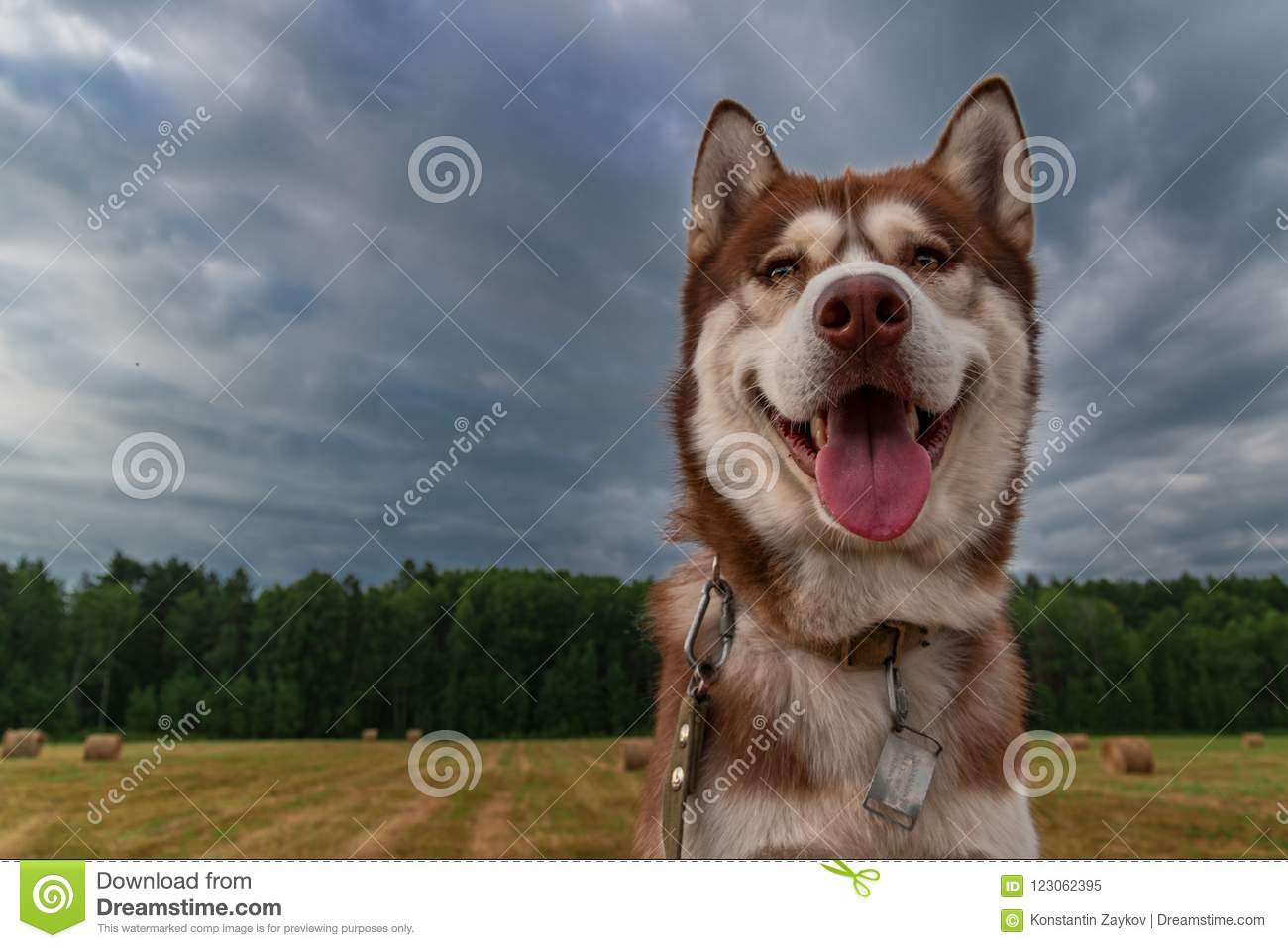 Portrait Happy Siberian Husky Dog Cute Husky Dog On The Background