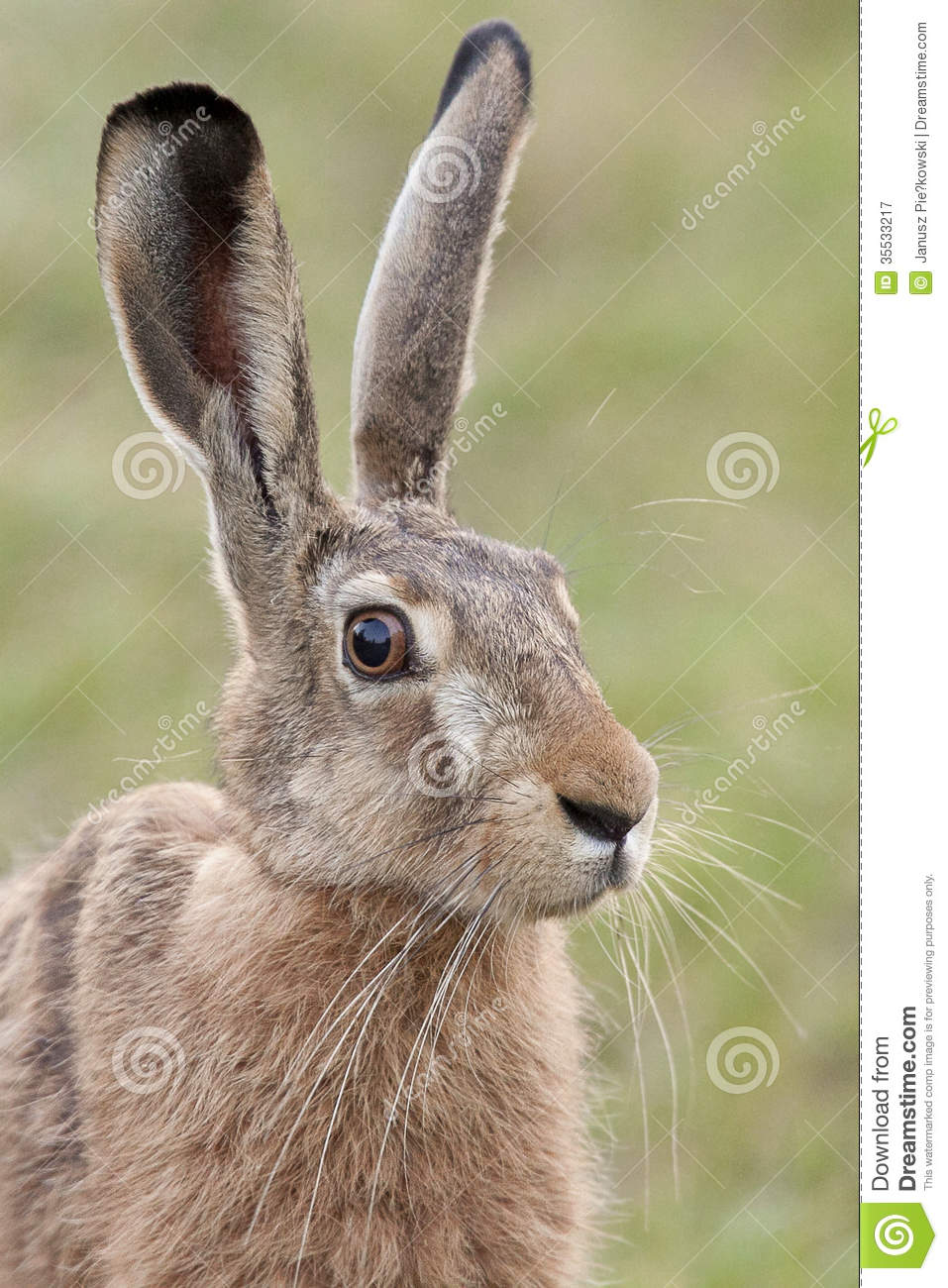 Portrait Of A Hare Royalty Free Stock Photography Image 35533217