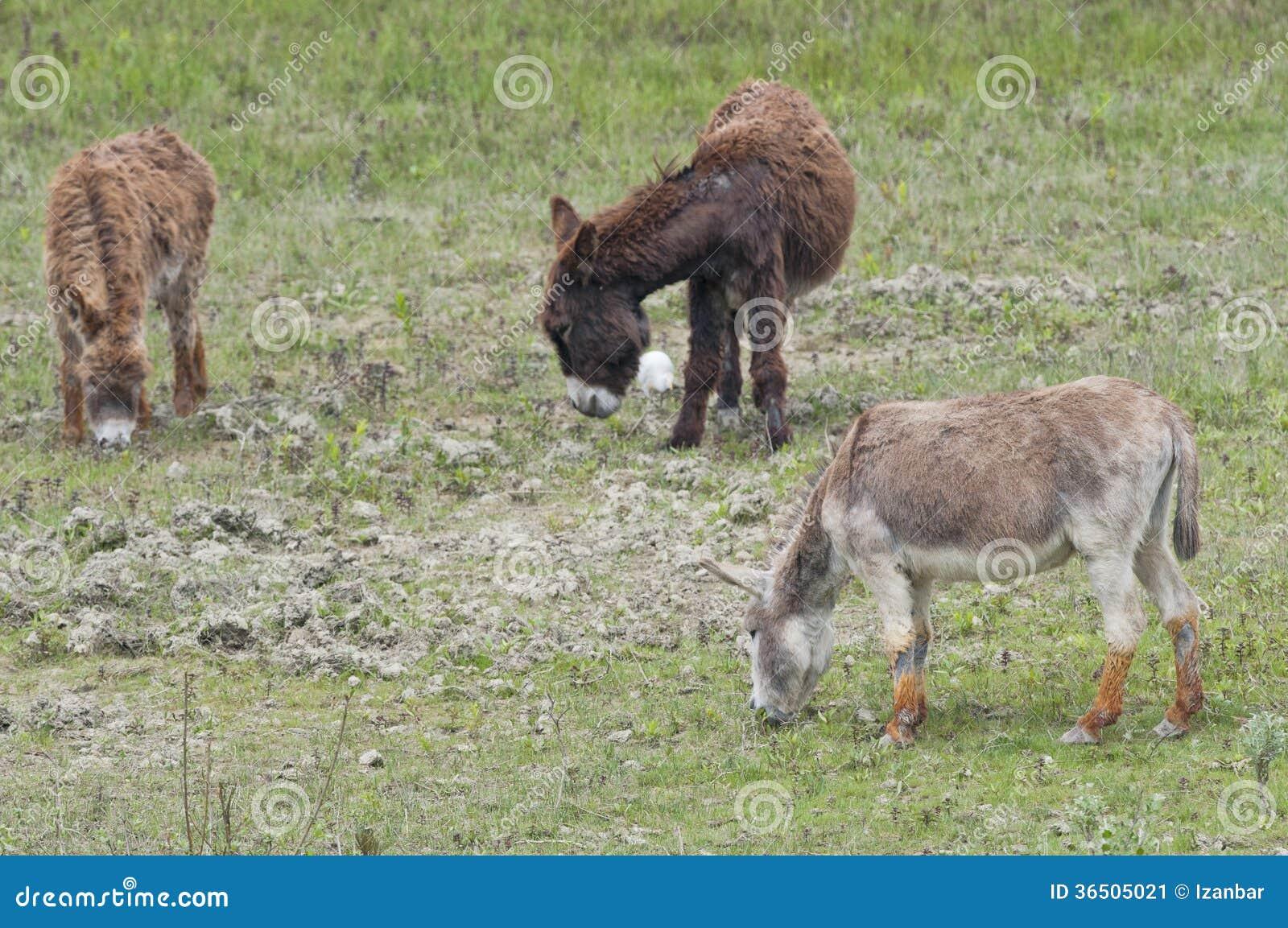 Portrait haut étroit d ânes sauvages