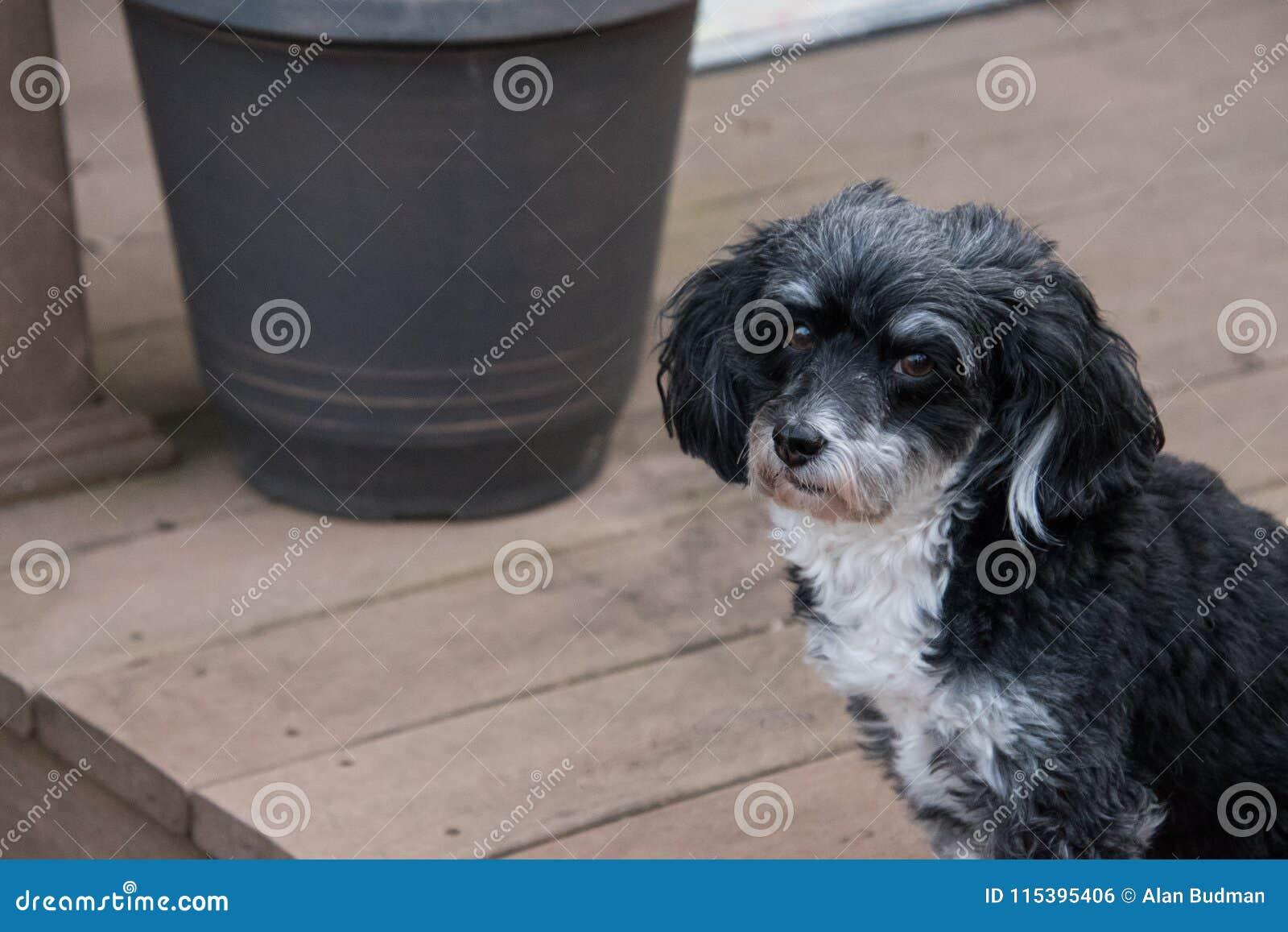 Portrait Of Havanese Puppy Dog Stock Photo Image Of Friend Little 115395406