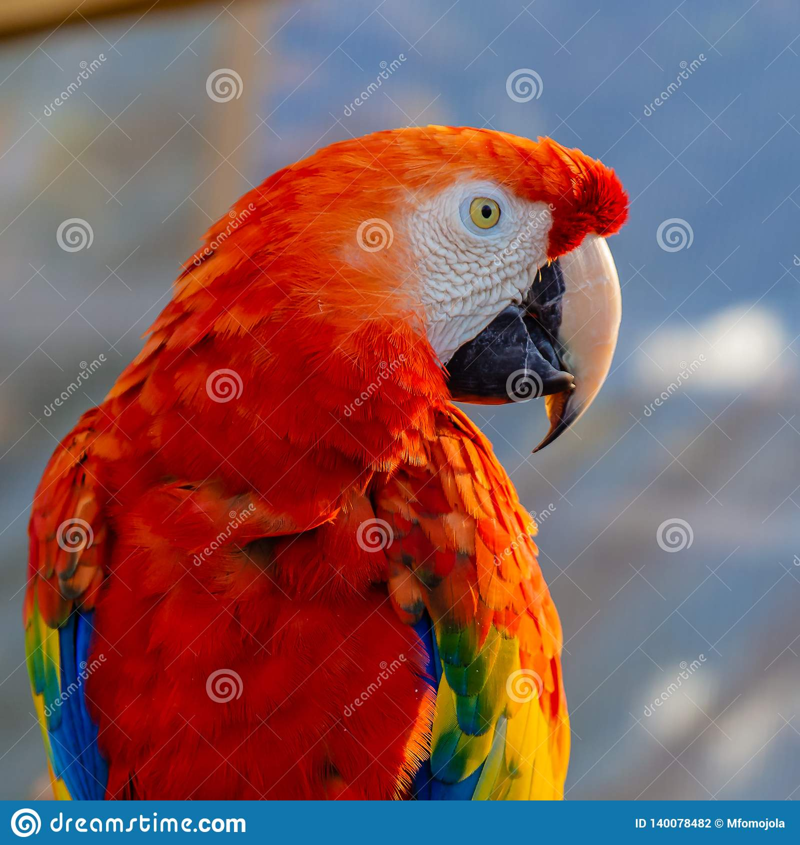 Portrait Of The Head Of Scarlet Macaw Parrot Stock Photo