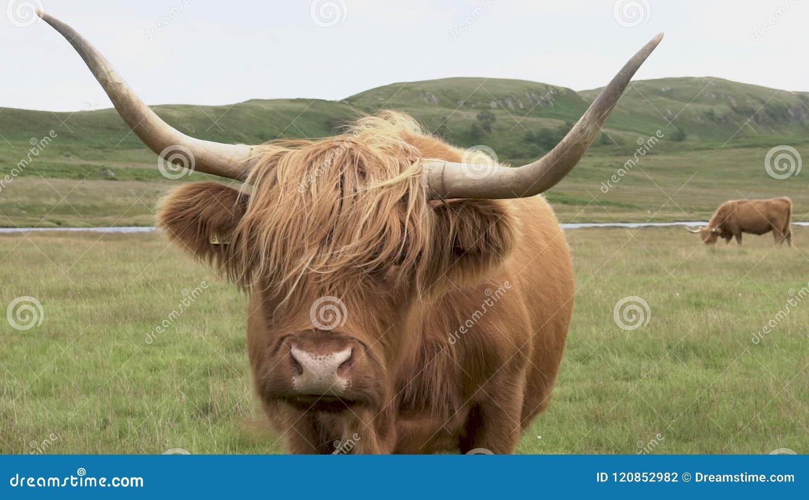 Highland Cow Face Scotland Close Shot 100 Ips Hd Stock Footage Video Of Highland Livestock 120852982