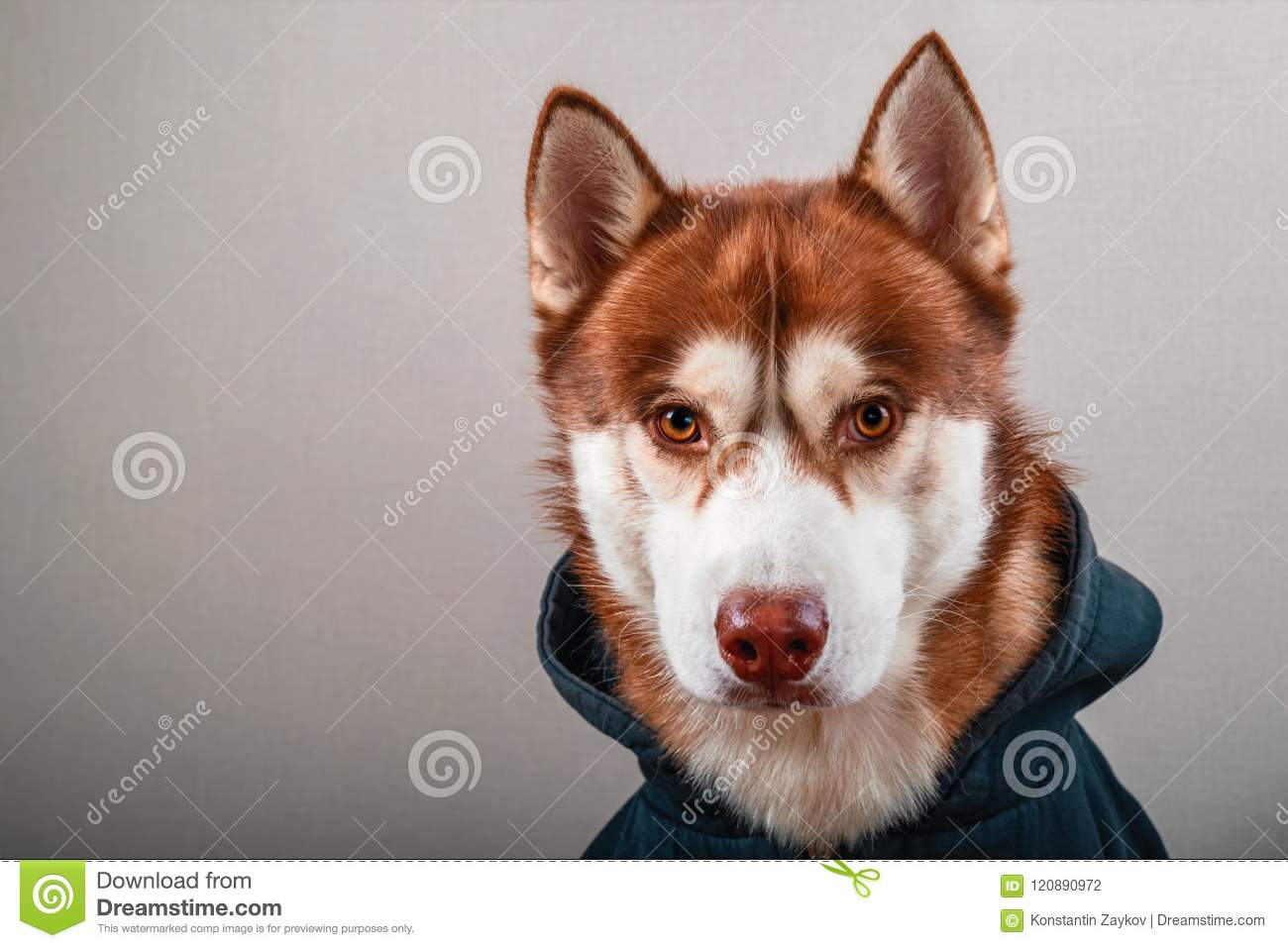 Portrait husky dog in black hoodie on Isolated gray background. Red siberian husky in sweatshirt looks at camera front view.
