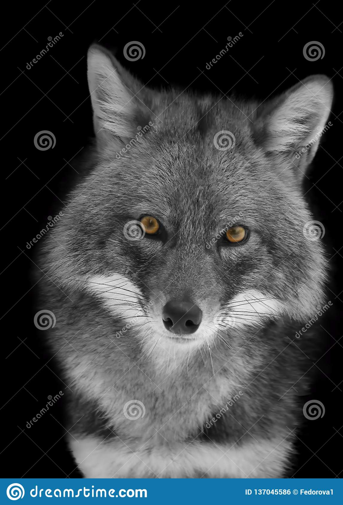 Portrait of a Jackal in black and white format