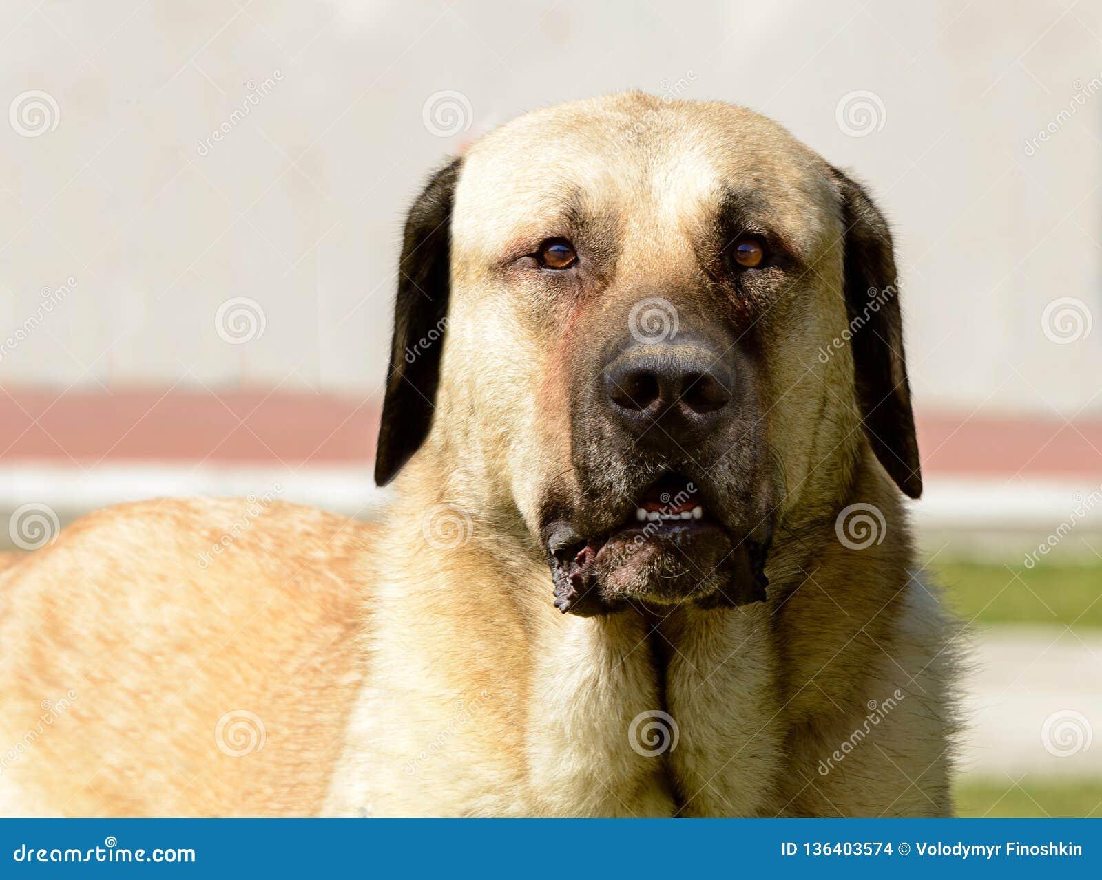 Kangal Shepherd Dog portrait.