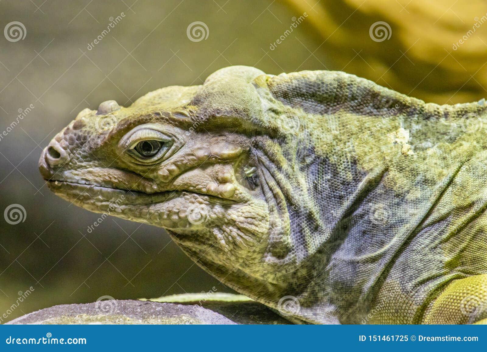 Portrait latéral d un iguane de rhinocéros