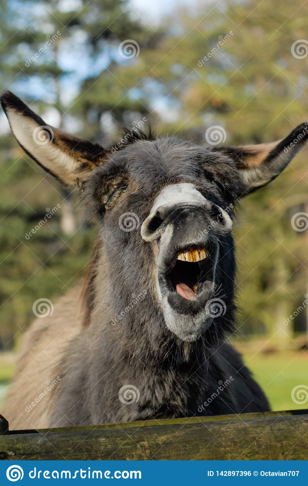 Portrait of a laughing donkey with closed eyes