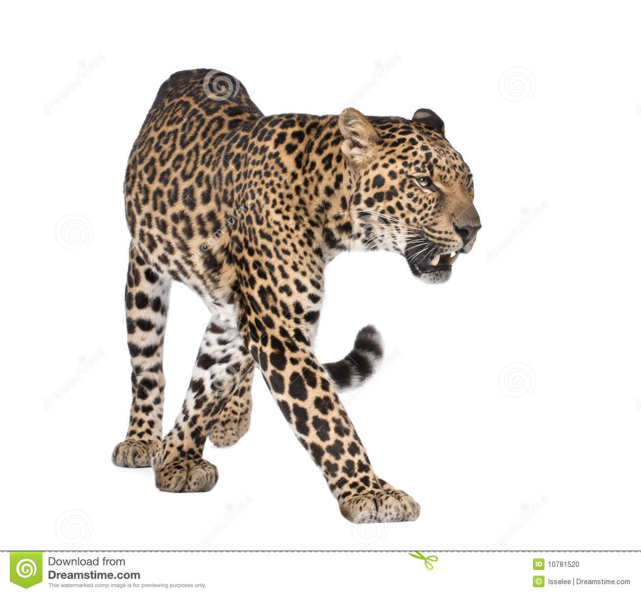 Portrait of leopard, Panthera pardus, walking