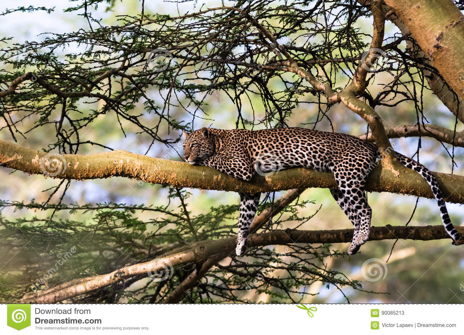 Portrait of a leopard resting on a tree. Nakuru, Africa