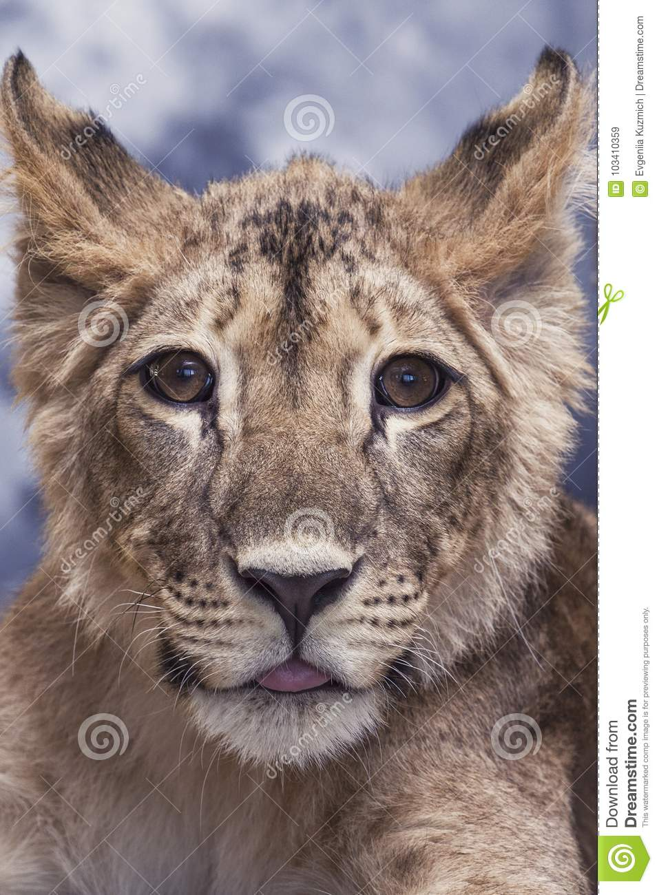 Portrait of a lioness young little cute and funny
