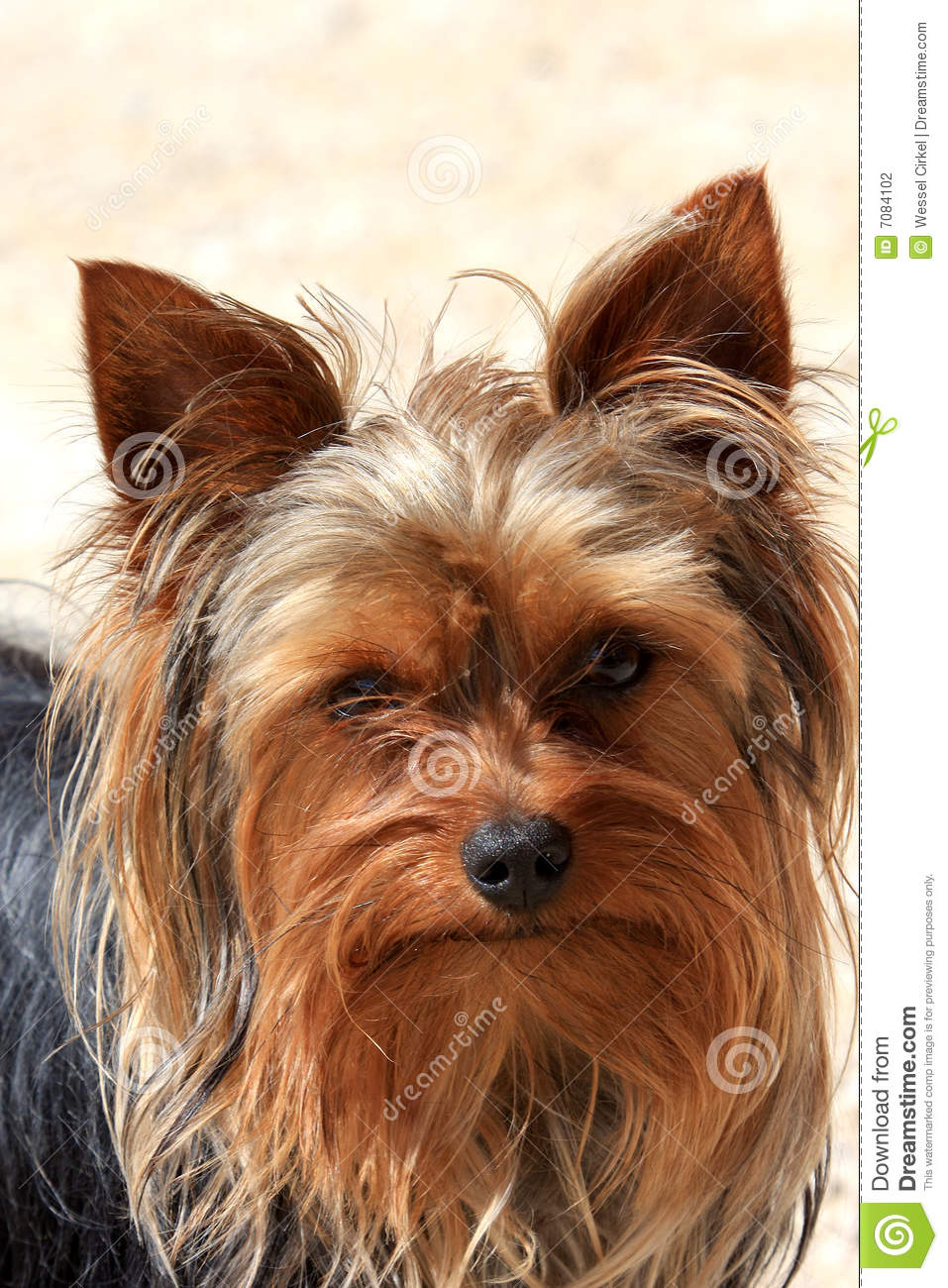 Portrait Of A Little Brown Dog Stock Photo - Image: 7084102