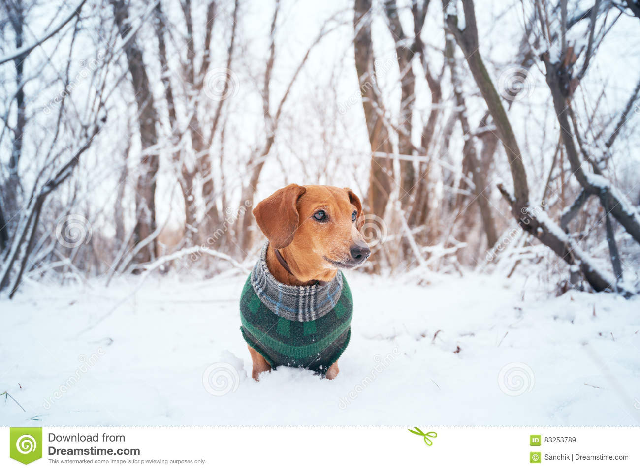 Portrait of a little dog, dressed in a coat