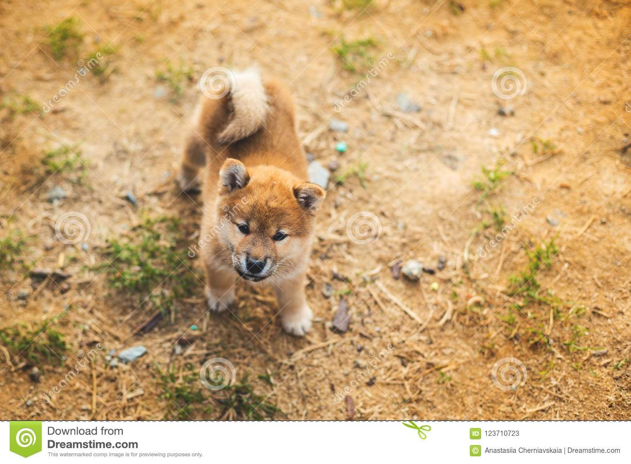 Portrait Of Lovely Japanese Shiba Inu Puppy Standing Outside On The