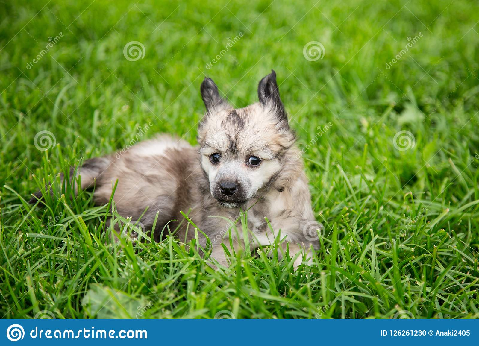 Portrait of lovely powder puff puppy breed chinese crested dog lying in the green grass on summer day.