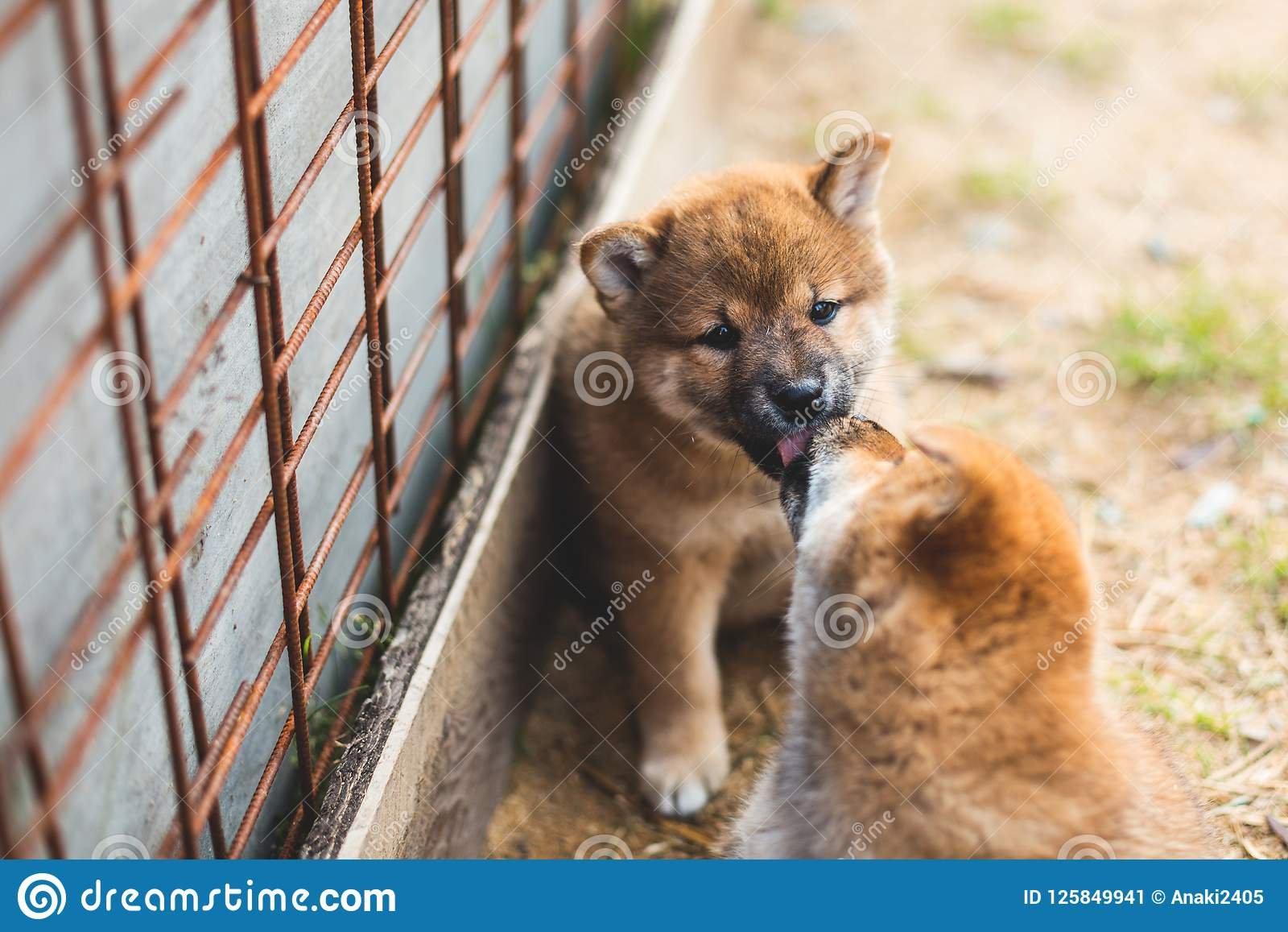 Portrait Of Lovely Red Shiba Inu Puppy Sitting And Kissing Its