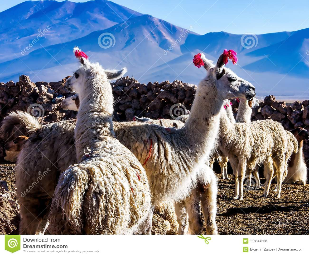 Portrait of a male and female lamas close-up. Domestic lama. Cute animals