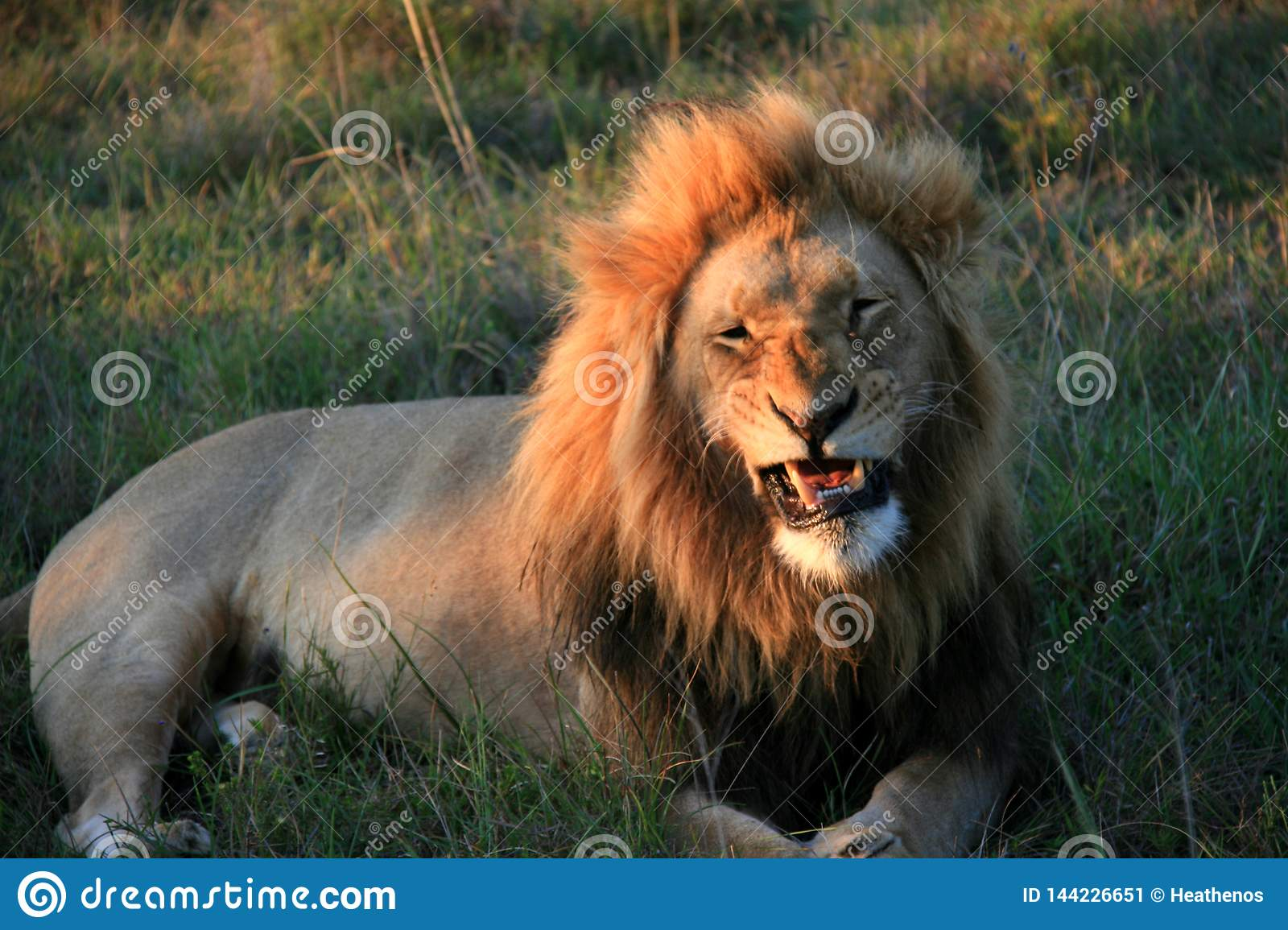 Male lion lying on grass with mouth partially open revealing teeth