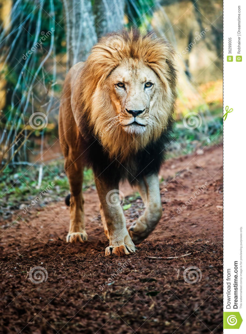 Portrait Of Male Lion Walking Royalty Free Stock Photo ...