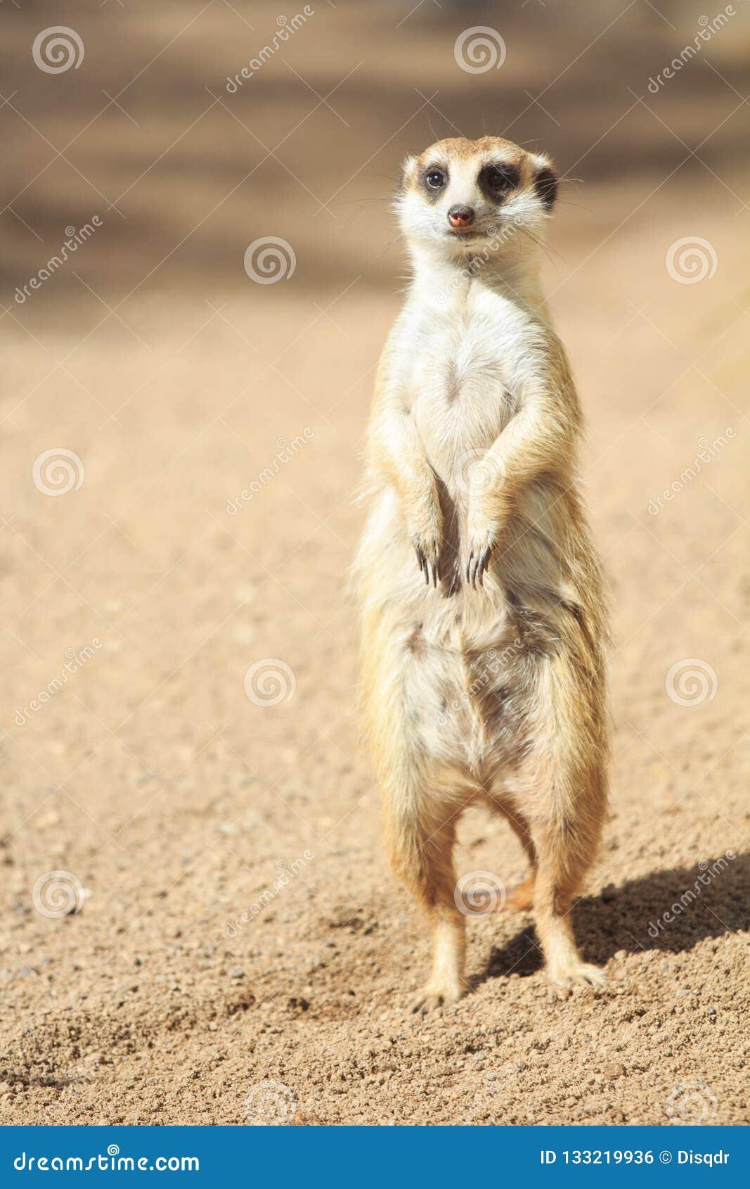 Portrait of Meerkat Suricata suricatta, African native animal, small carnivore