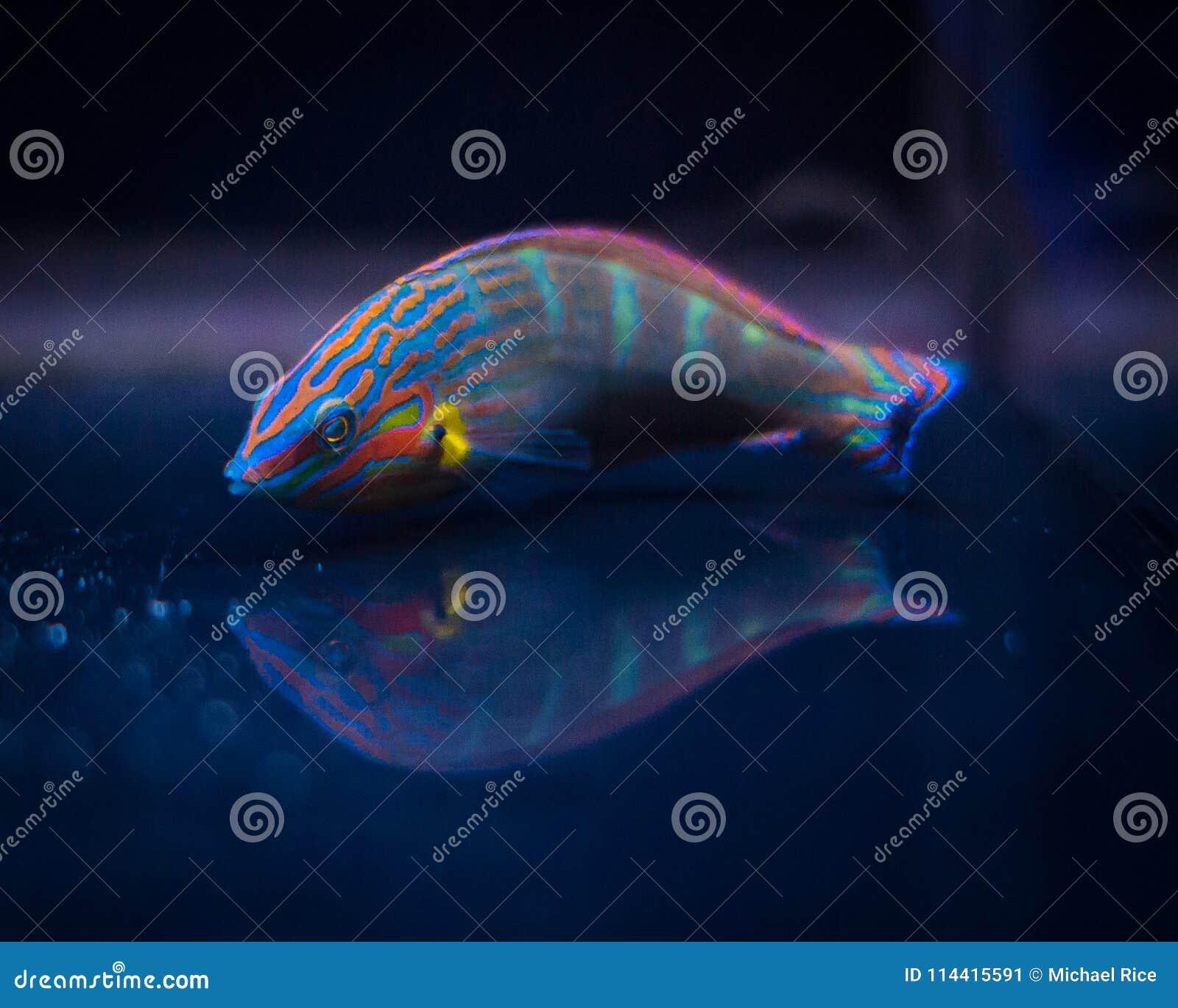 Portrait Of Melanarus Wrasse Stock Image - Image of fish