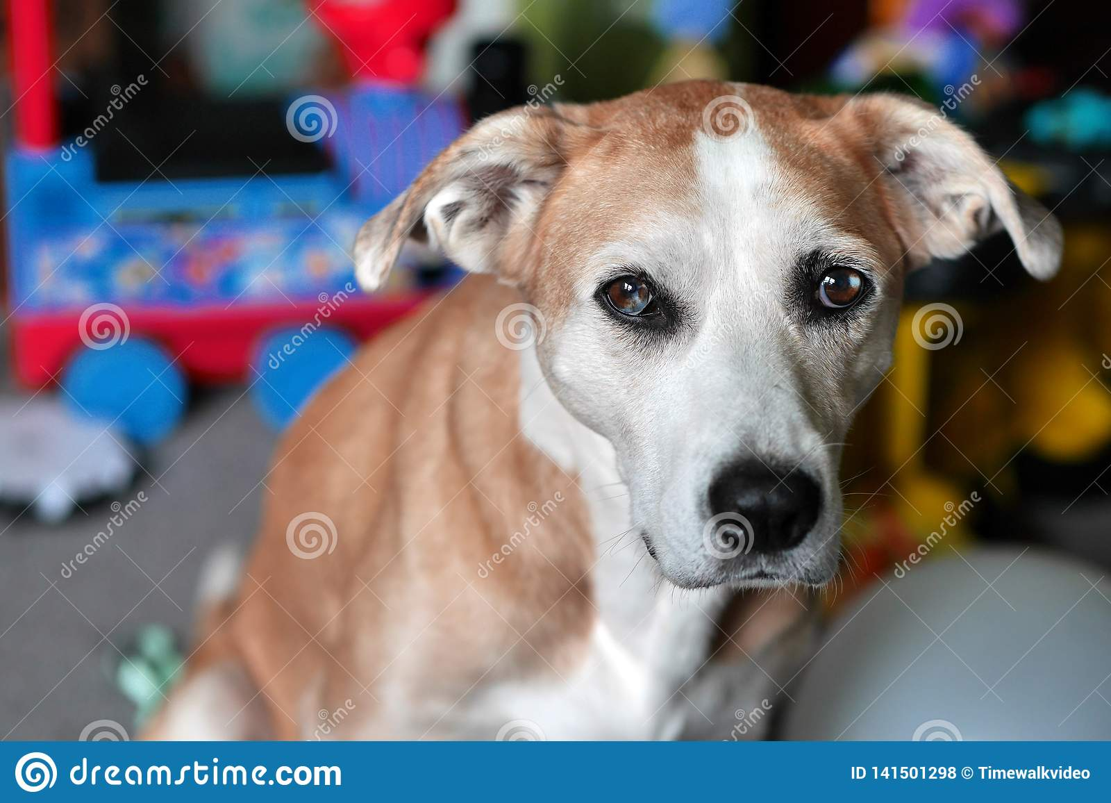 Gorgeous Beagle Mix Dog with Blue-Brown Swirl Eyes