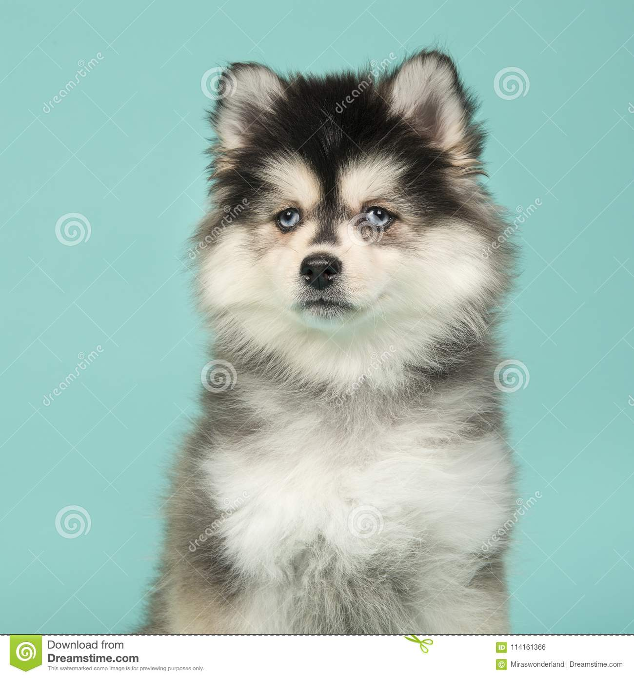 Portrait of a mini husky puppy with blue eyes glancing away on a