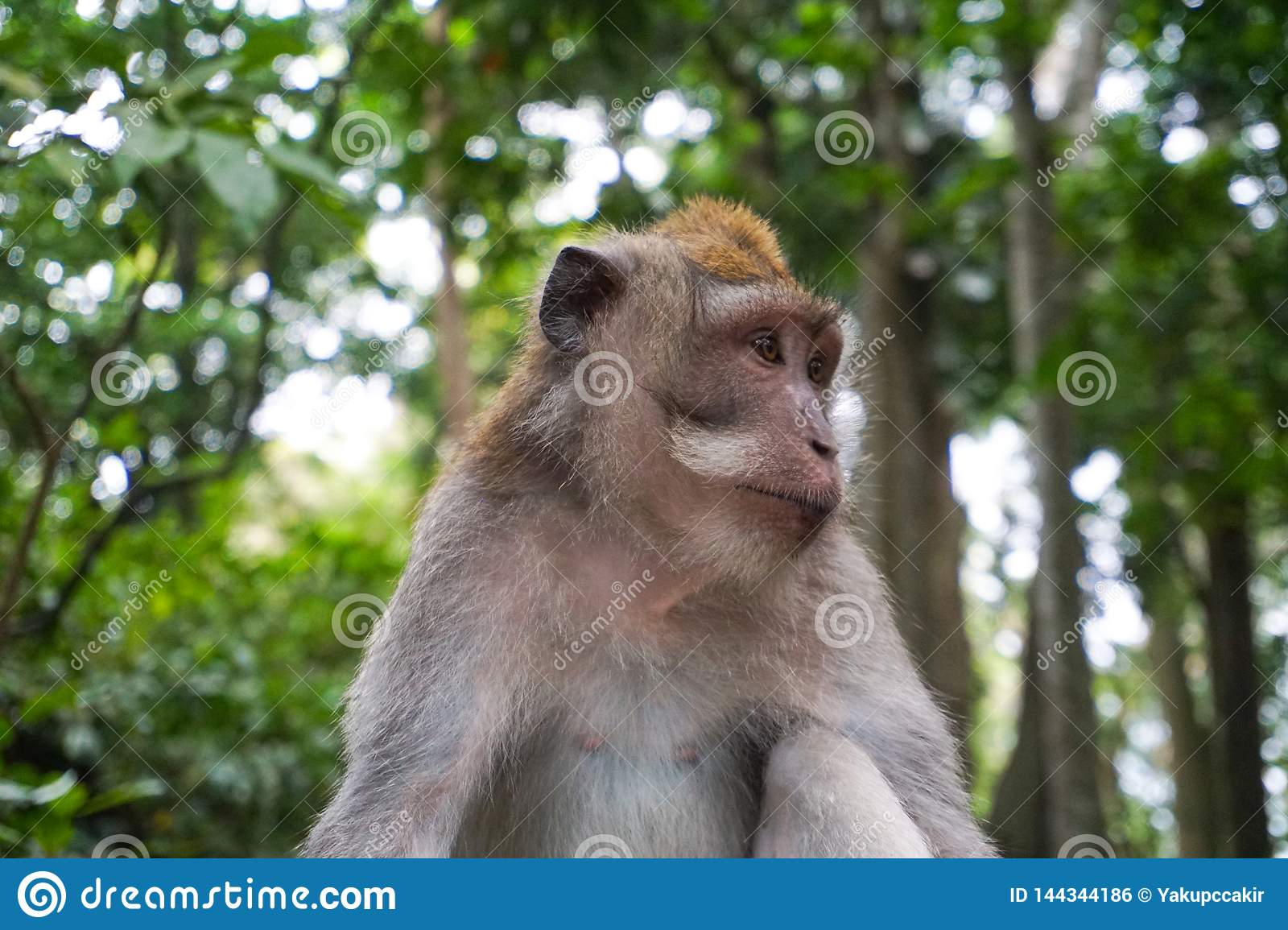 Portrait of Monkey male relax sit on the rock in forest, Monkey Forest Ubud, Bali, Indonesia