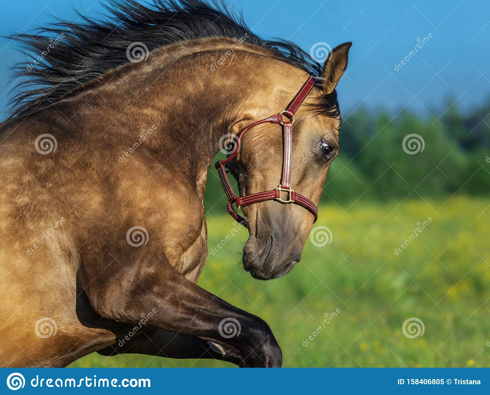 14 399 Golden Horse Photos Free Royalty Free Stock Photos From Dreamstime