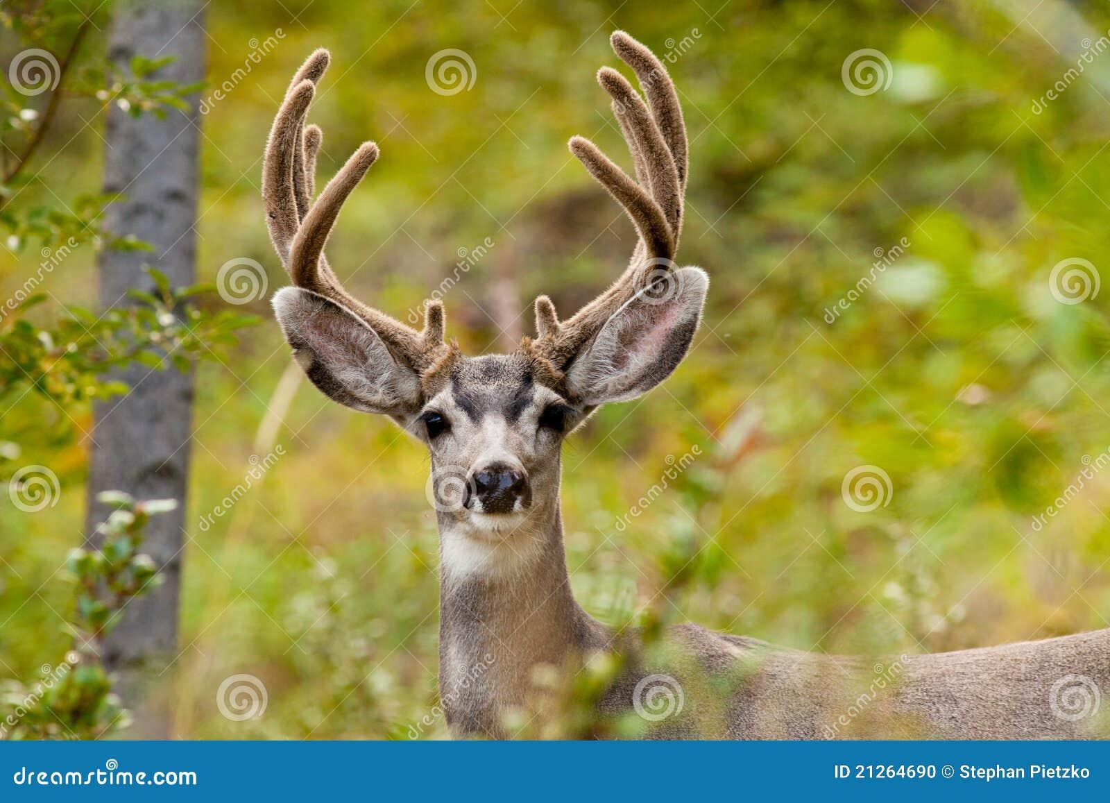 Portrait of mule deer buck with velvet antler