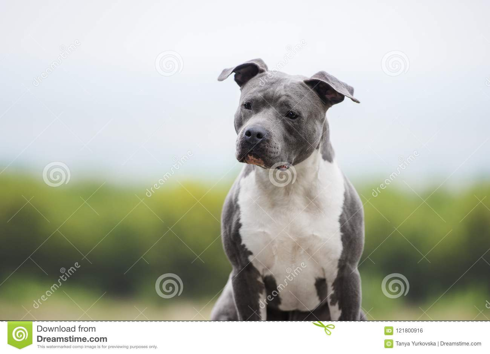 Portrait Of Muscular Blue Dog  American Staffordshire