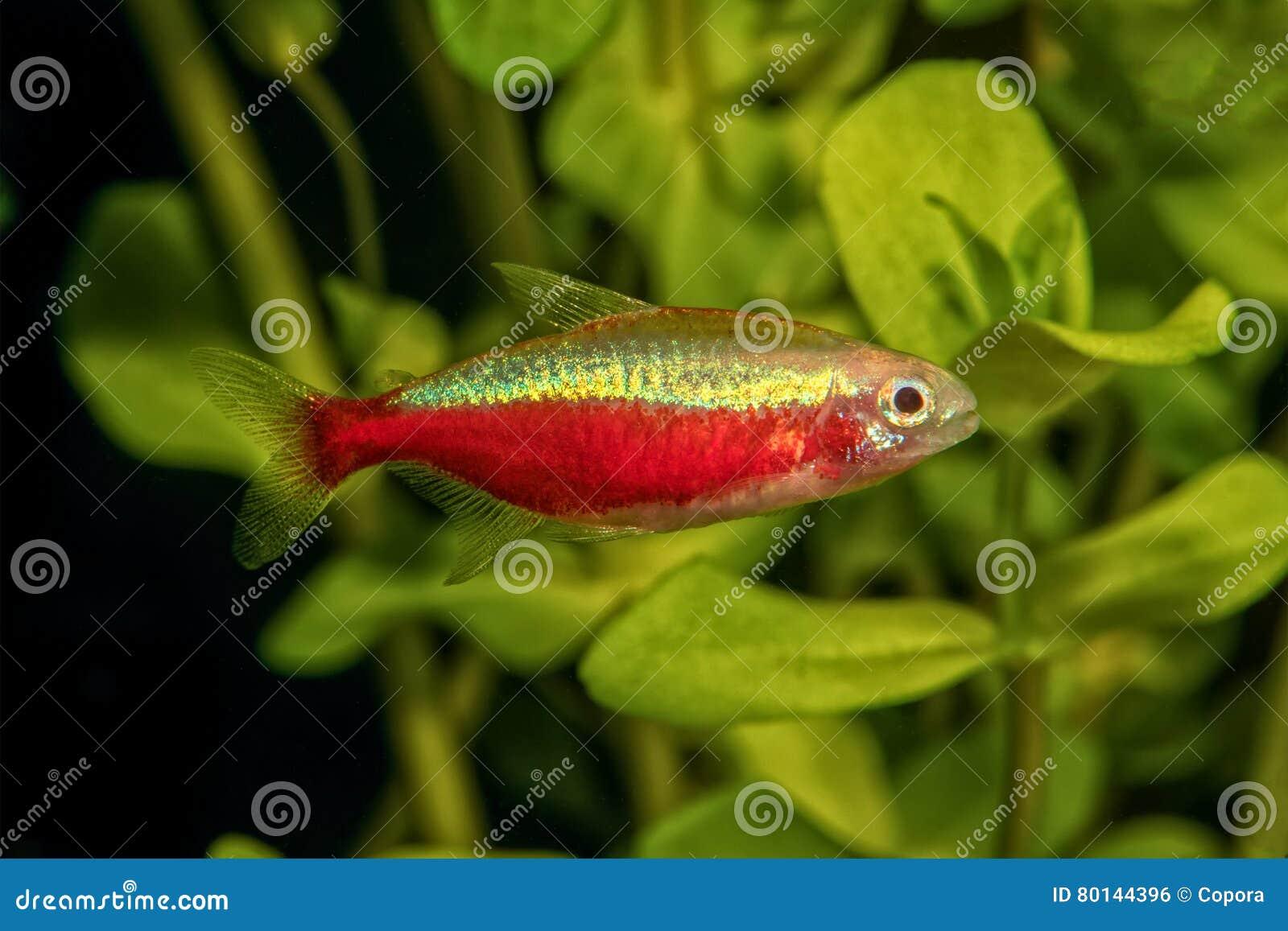 Portrait Of Neon Tetra Fish (Paracheirodon Axelrodi) In Aquarium ...
